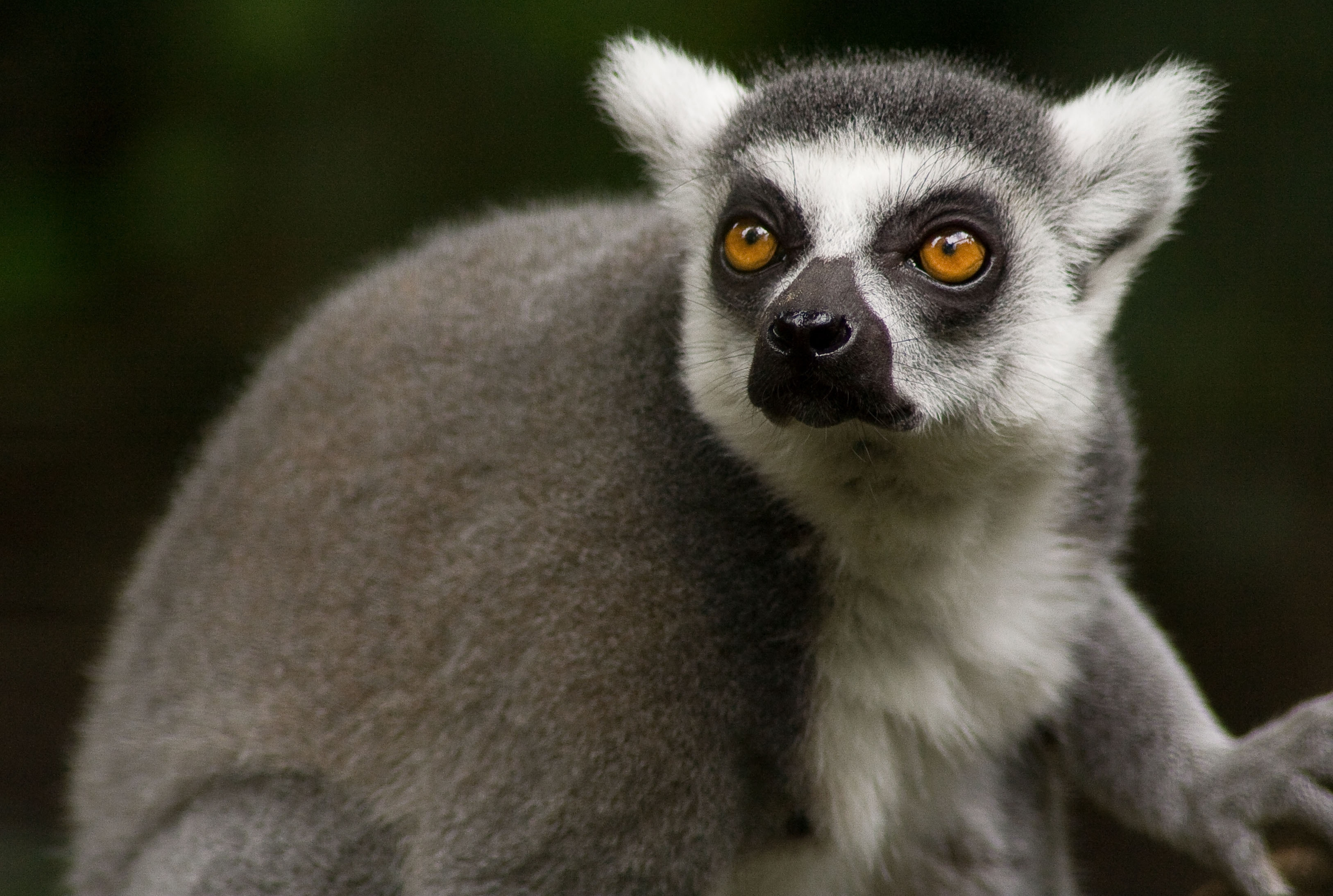 76624 download wallpaper Animals, Lemur, Muzzle, Sight, Opinion, Animal screensavers and pictures for free