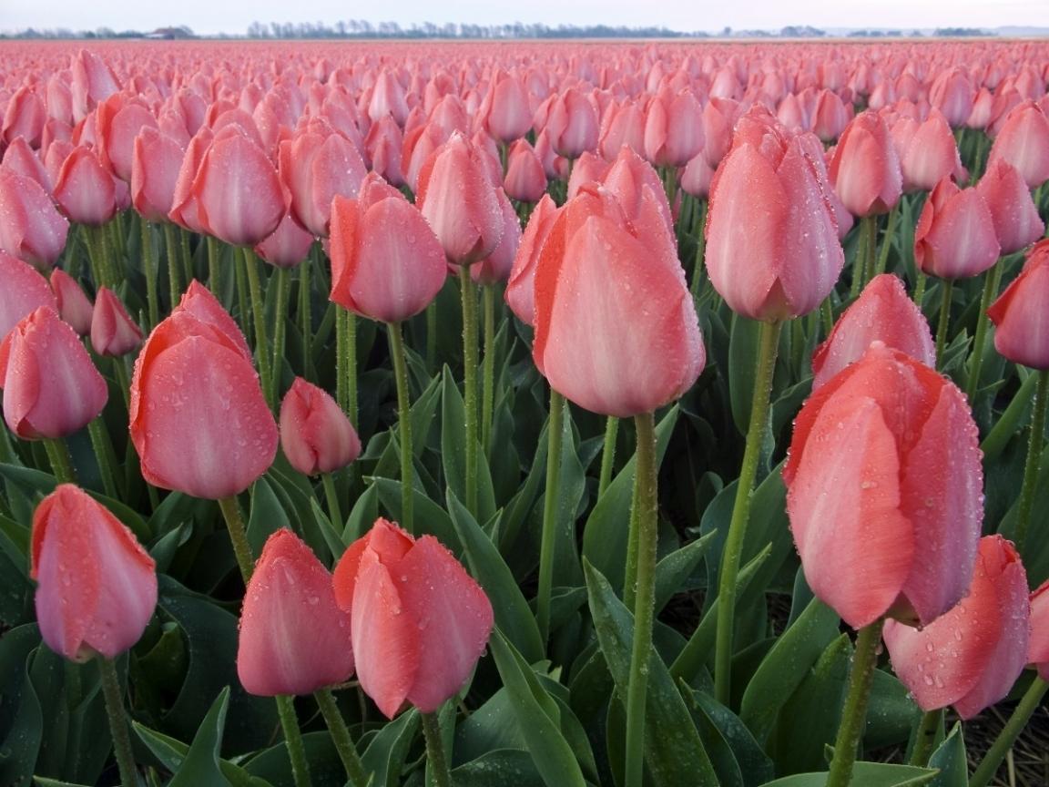 46448 скачать обои Растения, Цветы, Поля, Тюльпаны - заставки и картинки бесплатно