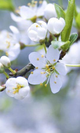 20574 скачать обои Растения, Цветы, Деревья - заставки и картинки бесплатно