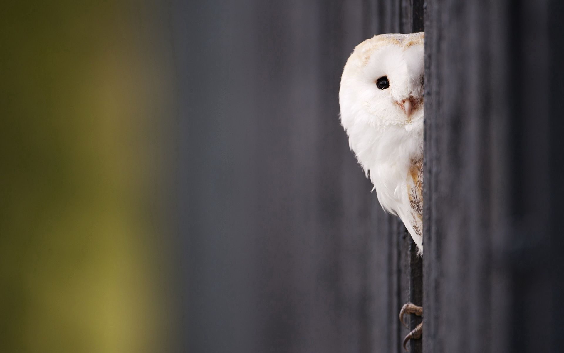 111463 download wallpaper Animals, Owl, Peek Out, Look Out, Bird, Predator screensavers and pictures for free