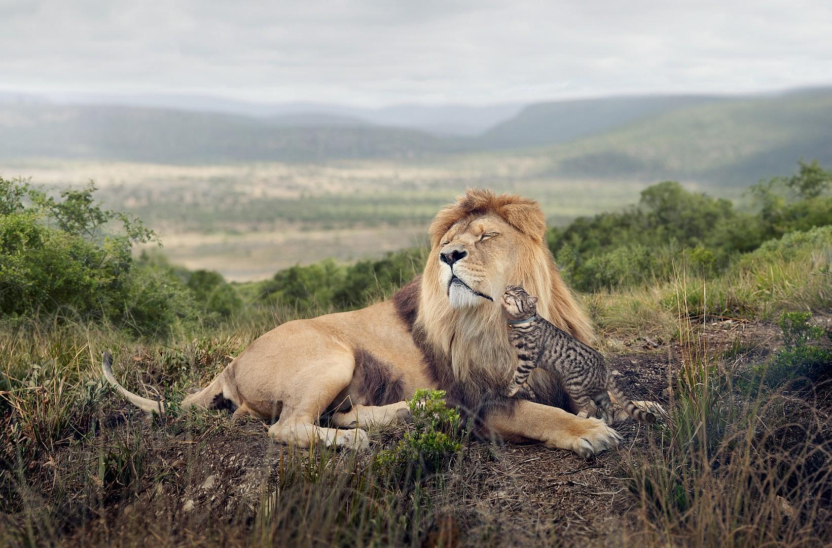 92759 Hintergrundbild herunterladen Tiere, Freundschaft, Der Kater, Katze, Ein Löwe, Löwe, Raubtier, Predator, Zärtlichkeit - Bildschirmschoner und Bilder kostenlos