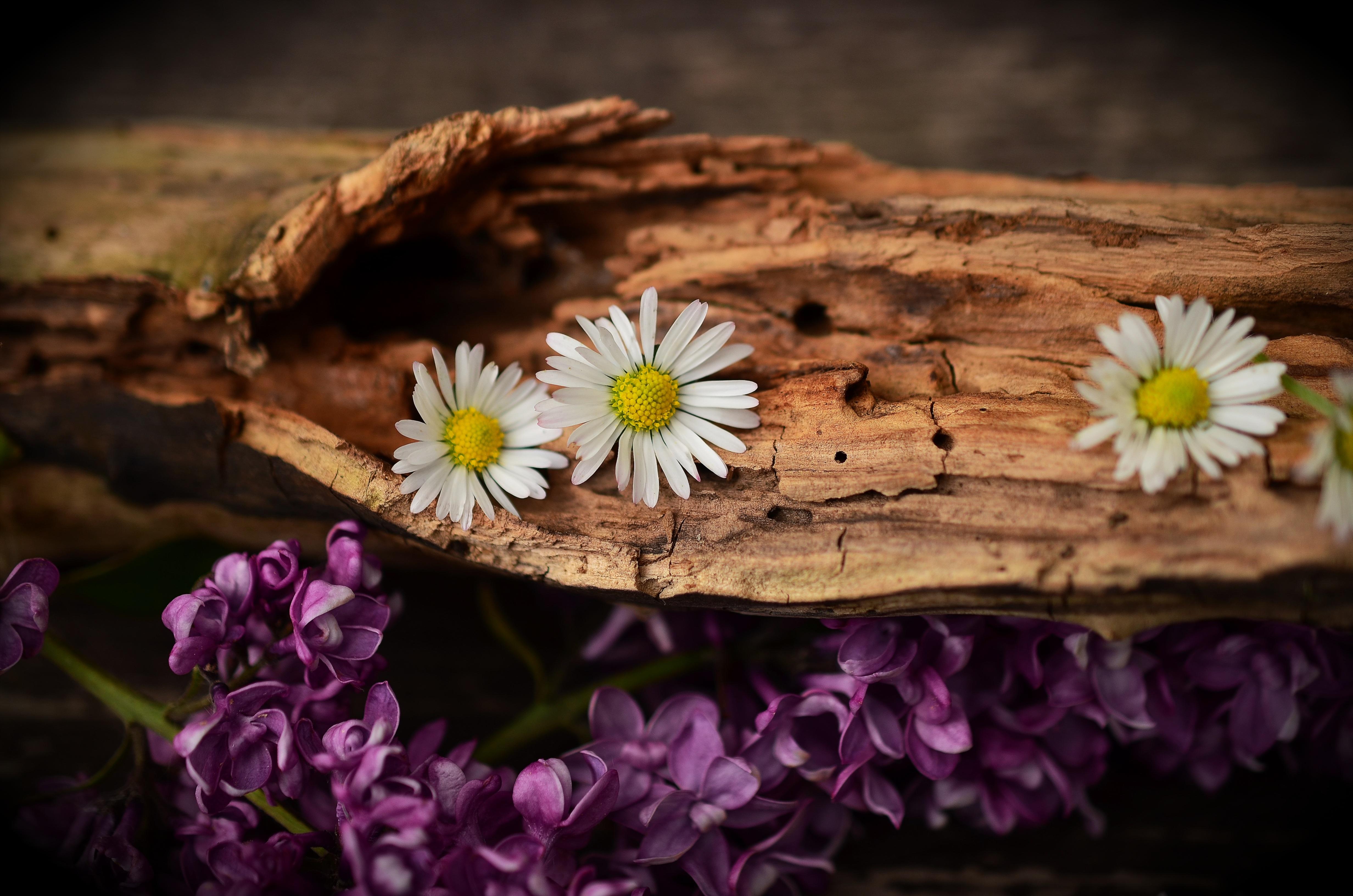 144933 Hintergrundbild herunterladen Blumen, Lilac, Kamille, Borke, Bellen - Bildschirmschoner und Bilder kostenlos