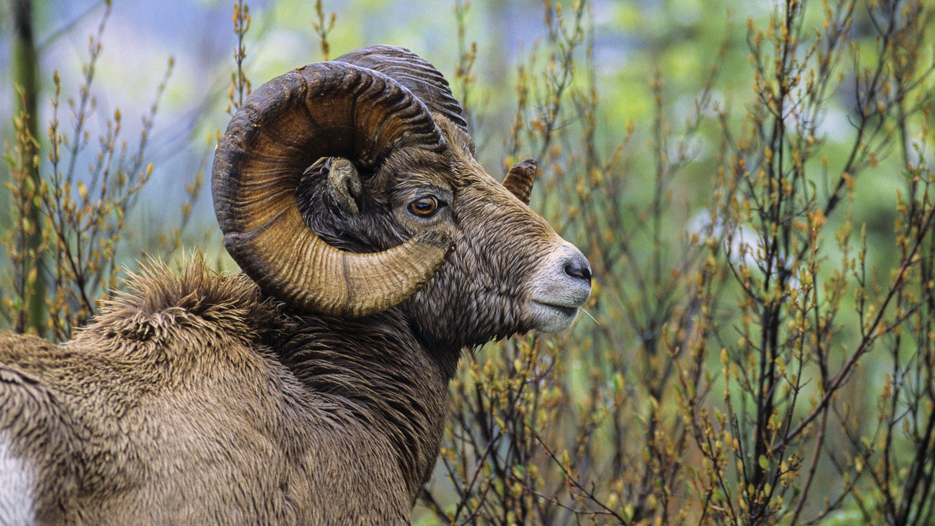 95774 download wallpaper Animals, Big Horned Ram, Bolshevik Sheep, Ram, Grass, Horns, Head screensavers and pictures for free