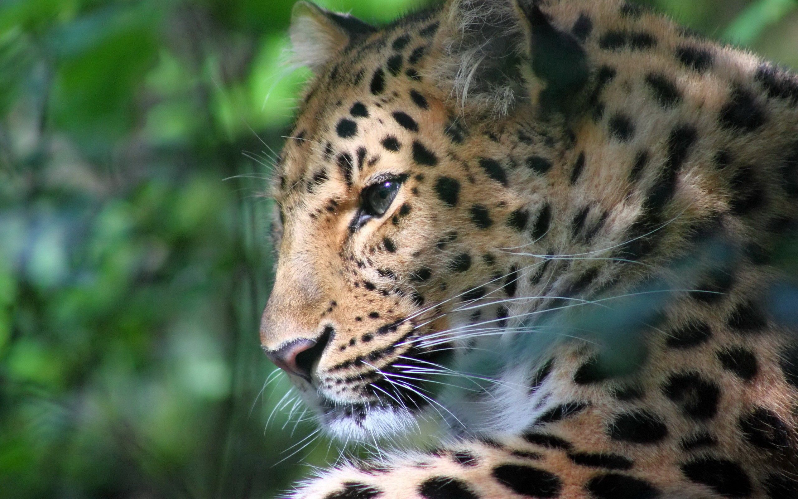 78870 download wallpaper Animals, Leopard, Muzzle, Color, Big Cat, Predator screensavers and pictures for free