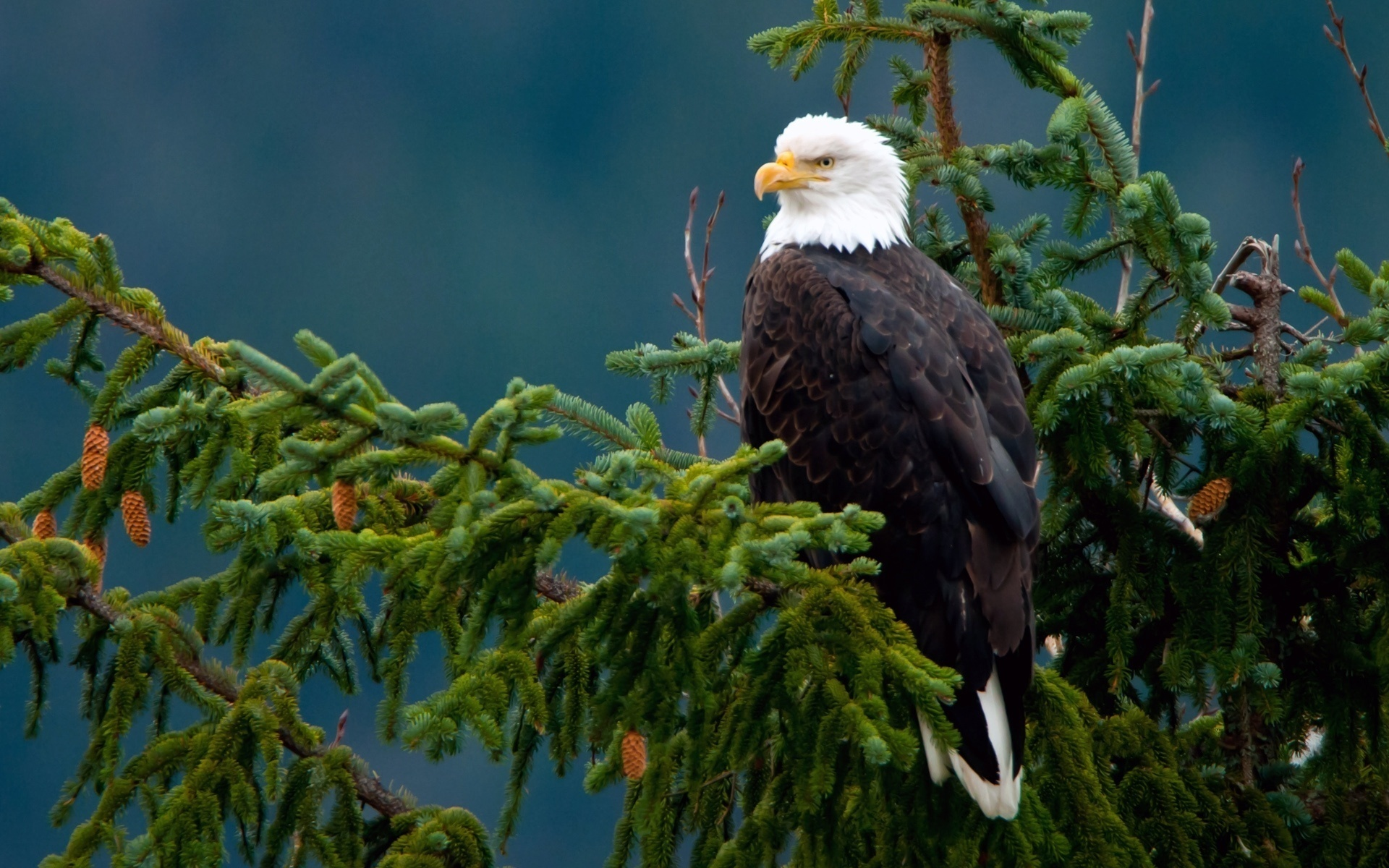 28929 download wallpaper Animals, Birds, Eagles screensavers and pictures for free