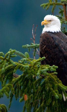 28929 baixar papel de parede Animais, Aves, Eagles - protetores de tela e imagens gratuitamente