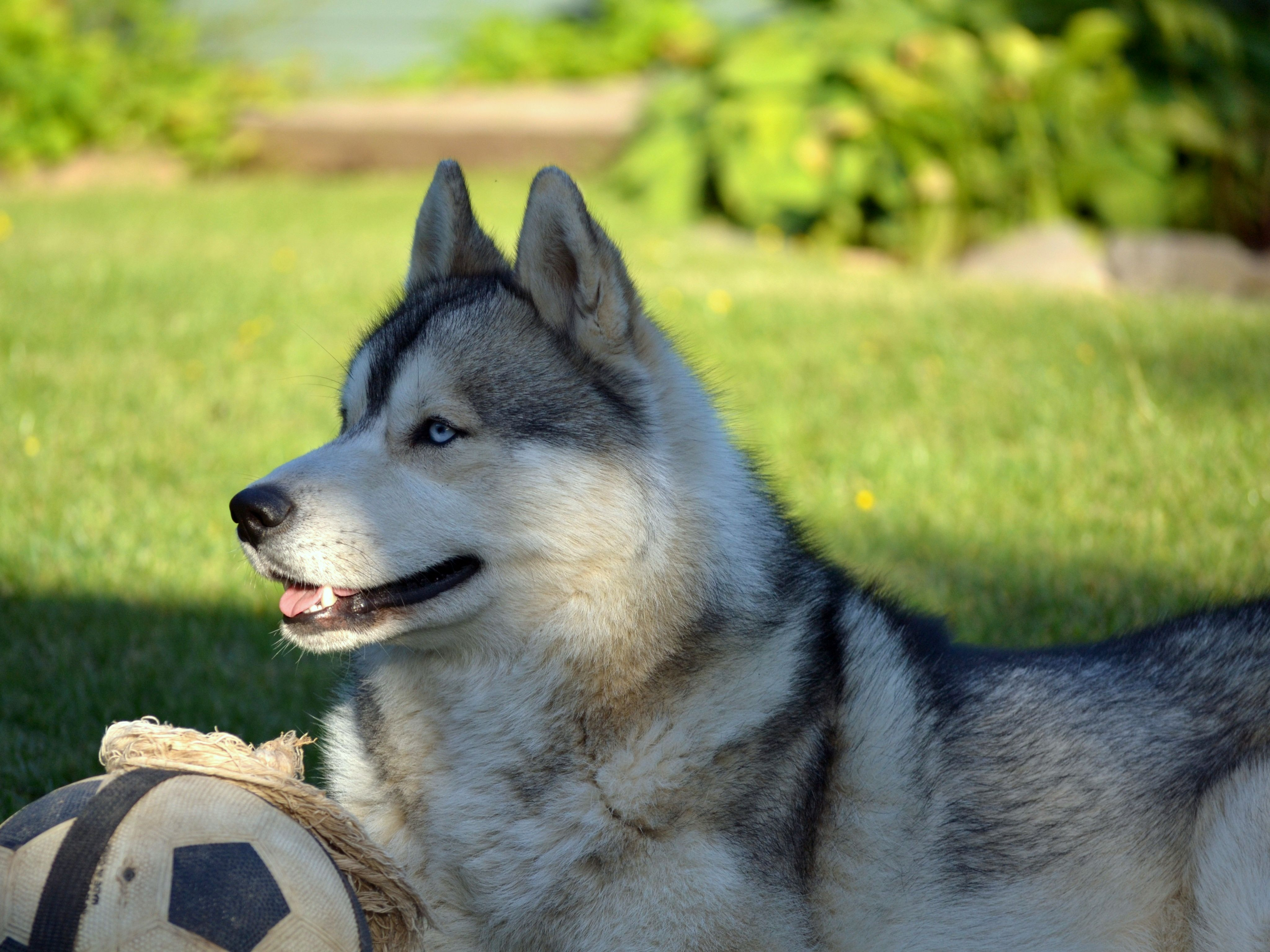 69031 Screensavers and Wallpapers Husky for phone. Download Animals, Grass, To Lie Down, Lie, Dog, Ball, Husky, Haska pictures for free