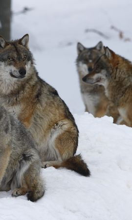 90654 baixar papel de parede Animais, Rebanho, Lobos, Inverno, Neve, Floresta - protetores de tela e imagens gratuitamente
