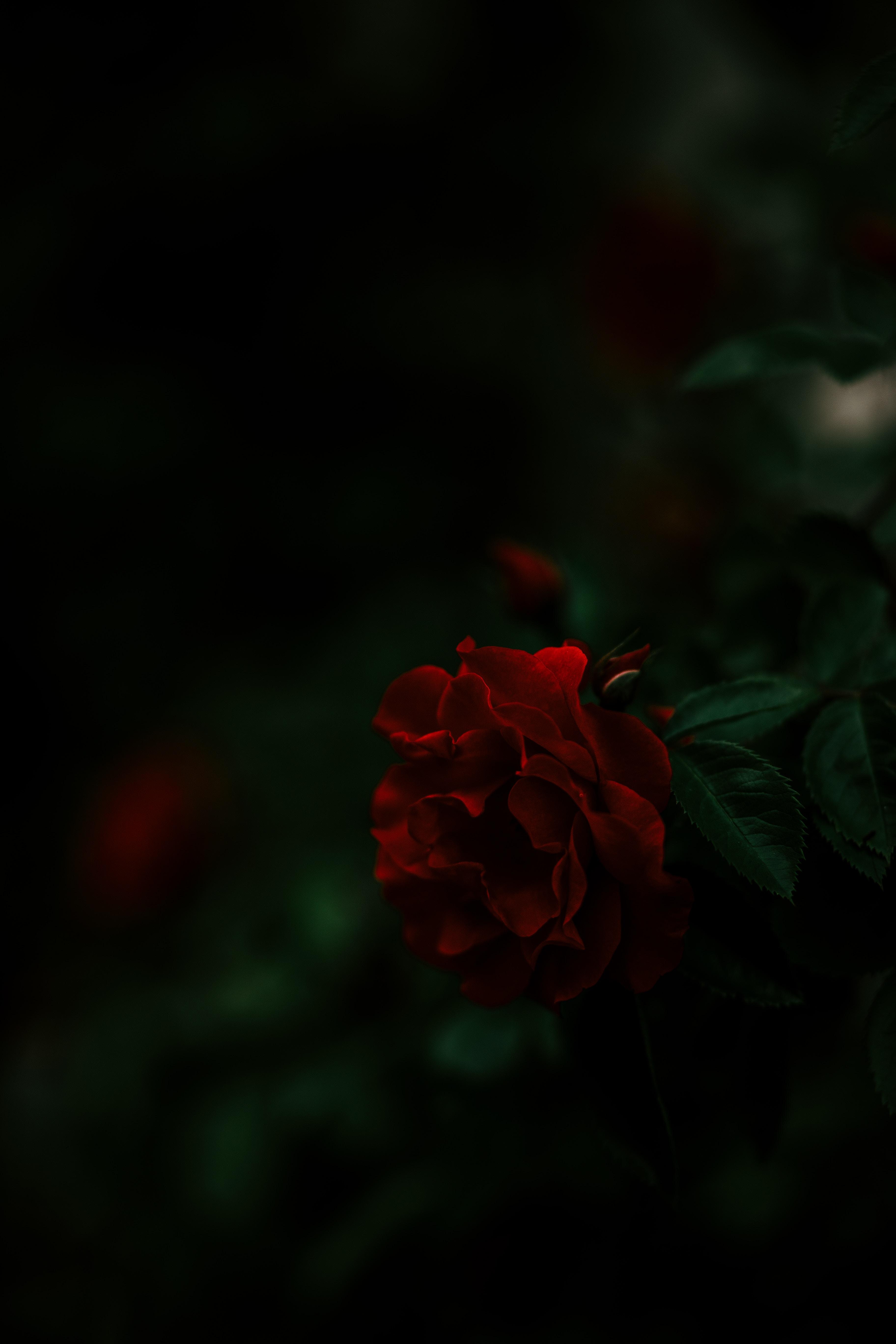 69218 обои 540x960 на телефон бесплатно, скачать картинки Темные, Роза, Красный, Темный, Куст 540x960 на мобильный