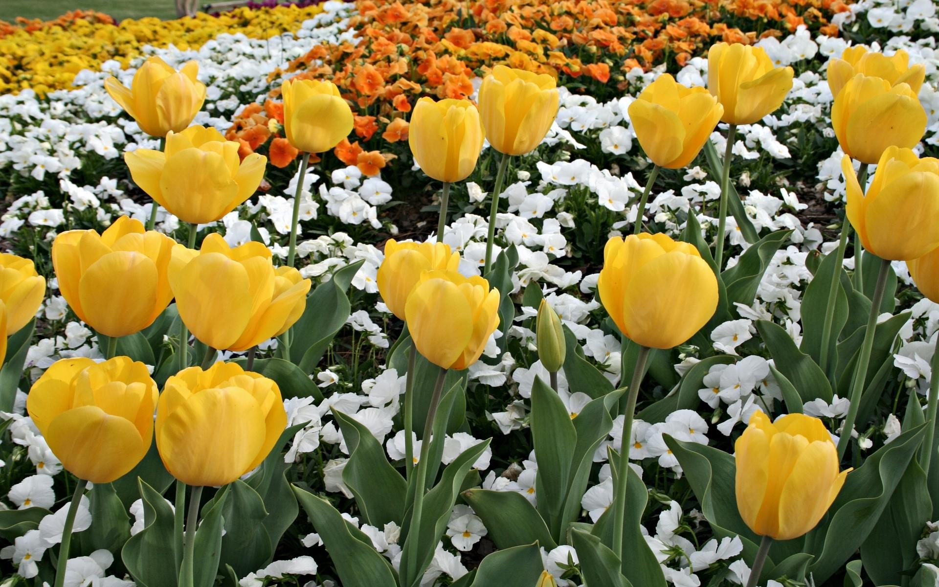 Скачать картинку Растения, Цветы, Фон, Тюльпаны в телефон бесплатно.