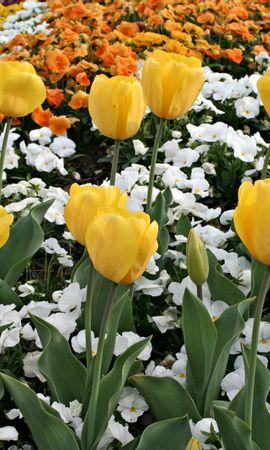 4154 descargar fondo de pantalla Plantas, Flores, Fondo, Tulipanes: protectores de pantalla e imágenes gratis