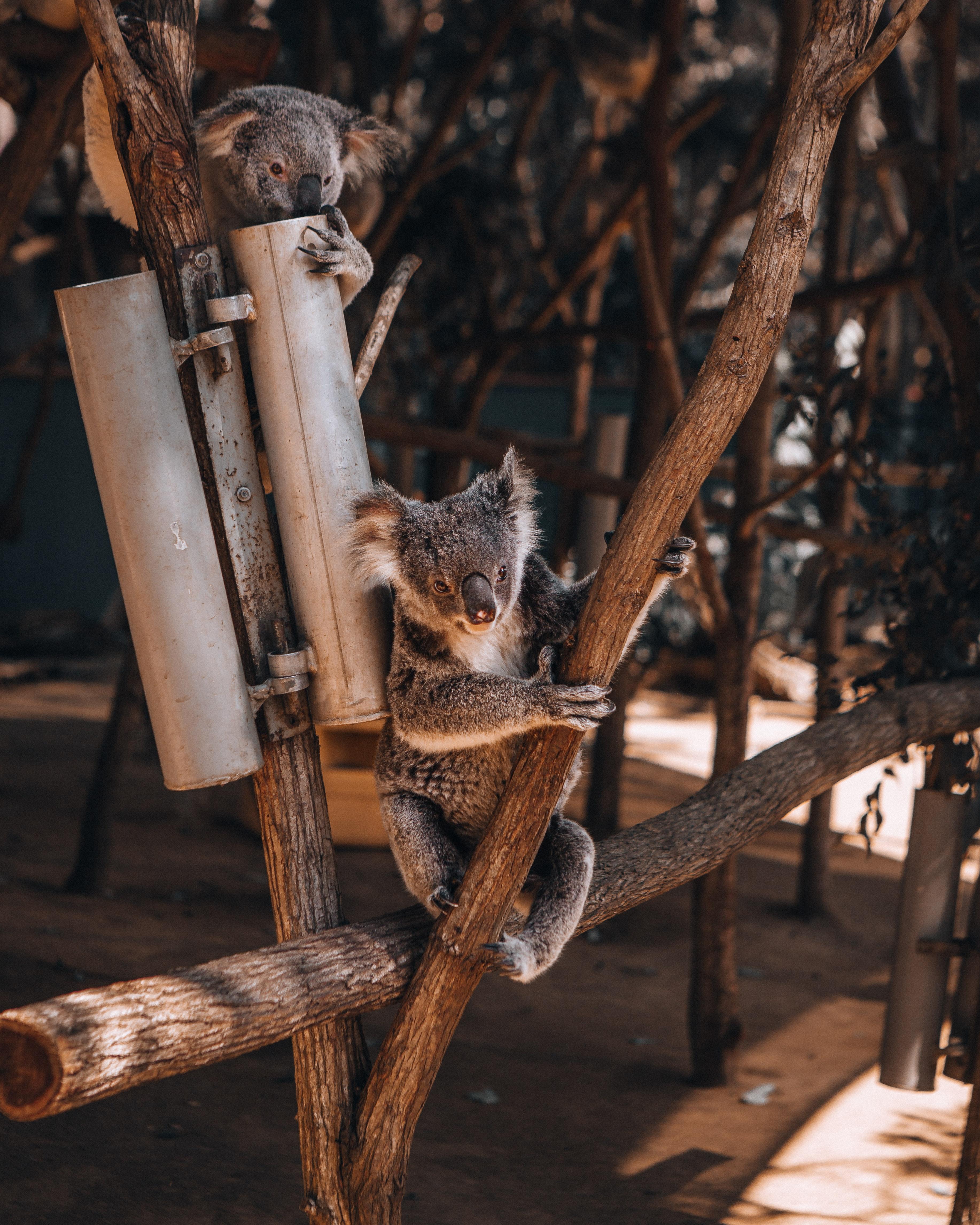 66088 download wallpaper Animals, Koalas, Wood, Tree, Animal, Koala screensavers and pictures for free