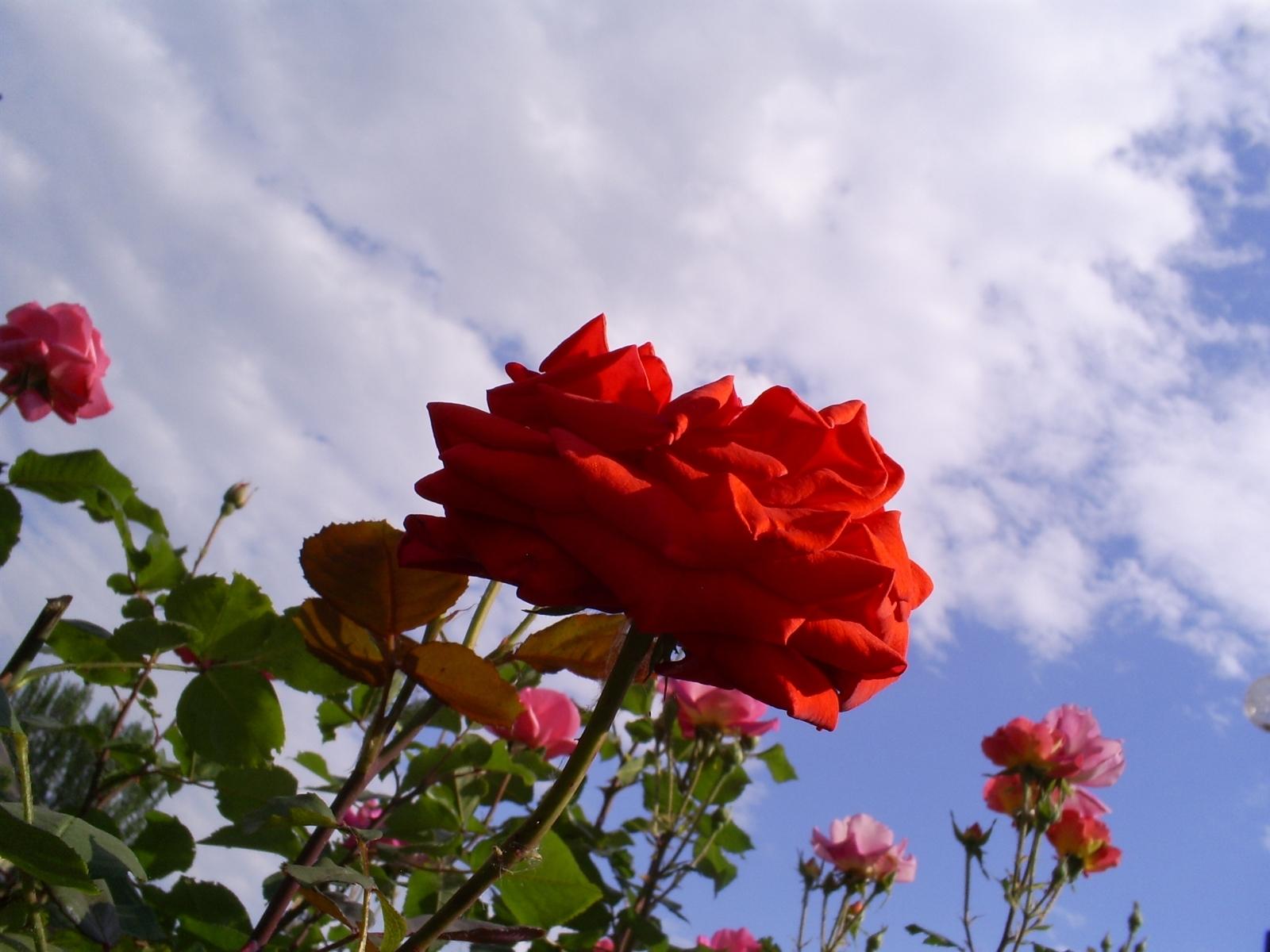 Скачать картинку Небо, Розы, Растения, Цветы в телефон бесплатно.