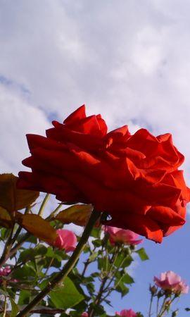 2946 скачать обои Растения, Цветы, Небо, Розы - заставки и картинки бесплатно