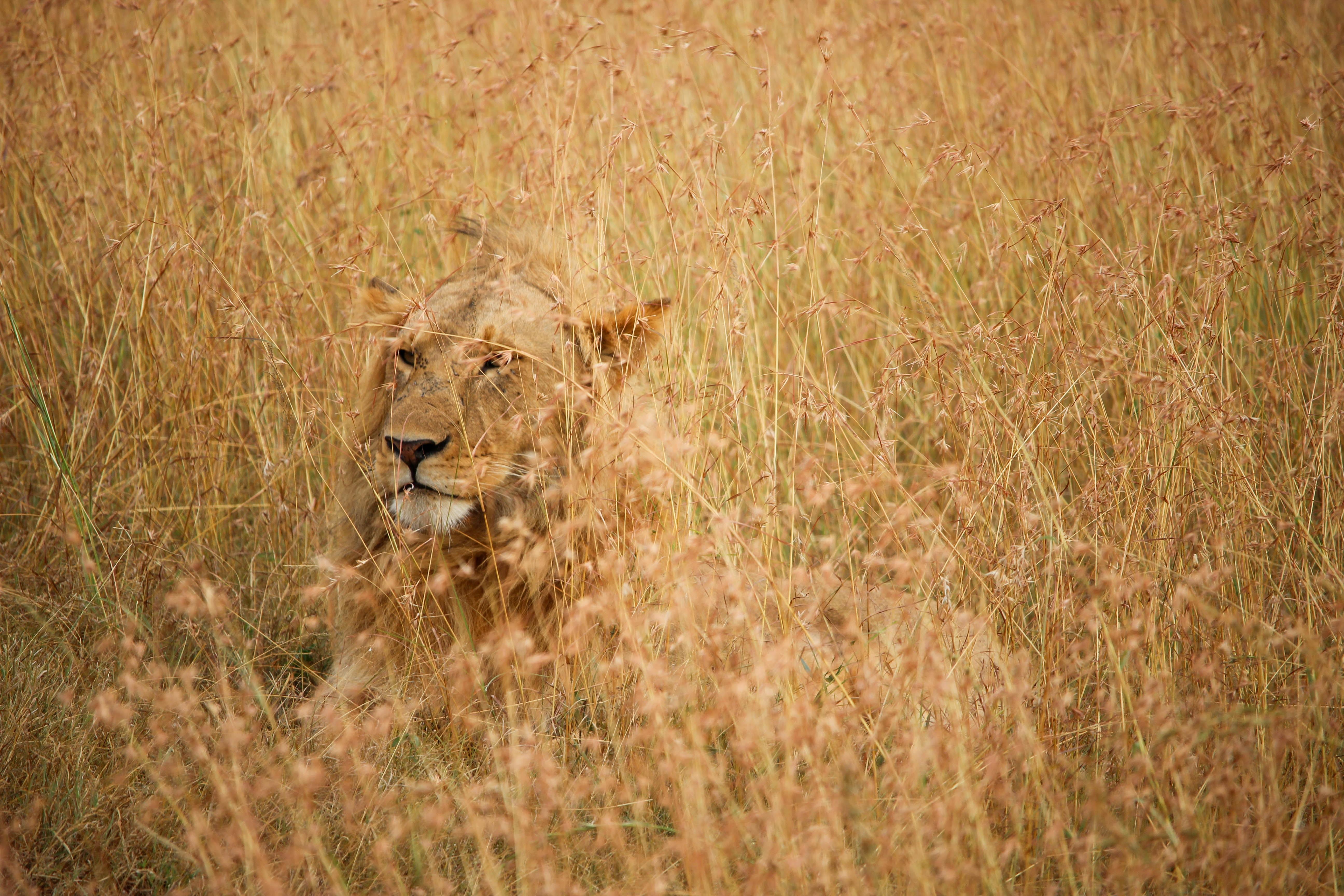 149827 Protetores de tela e papéis de parede Rei Das Feras em seu telefone. Baixe Animais, Leão, Um Leão, Predator, Predador, Esconder, Rei Das Feras, Rei Das Bestas fotos gratuitamente