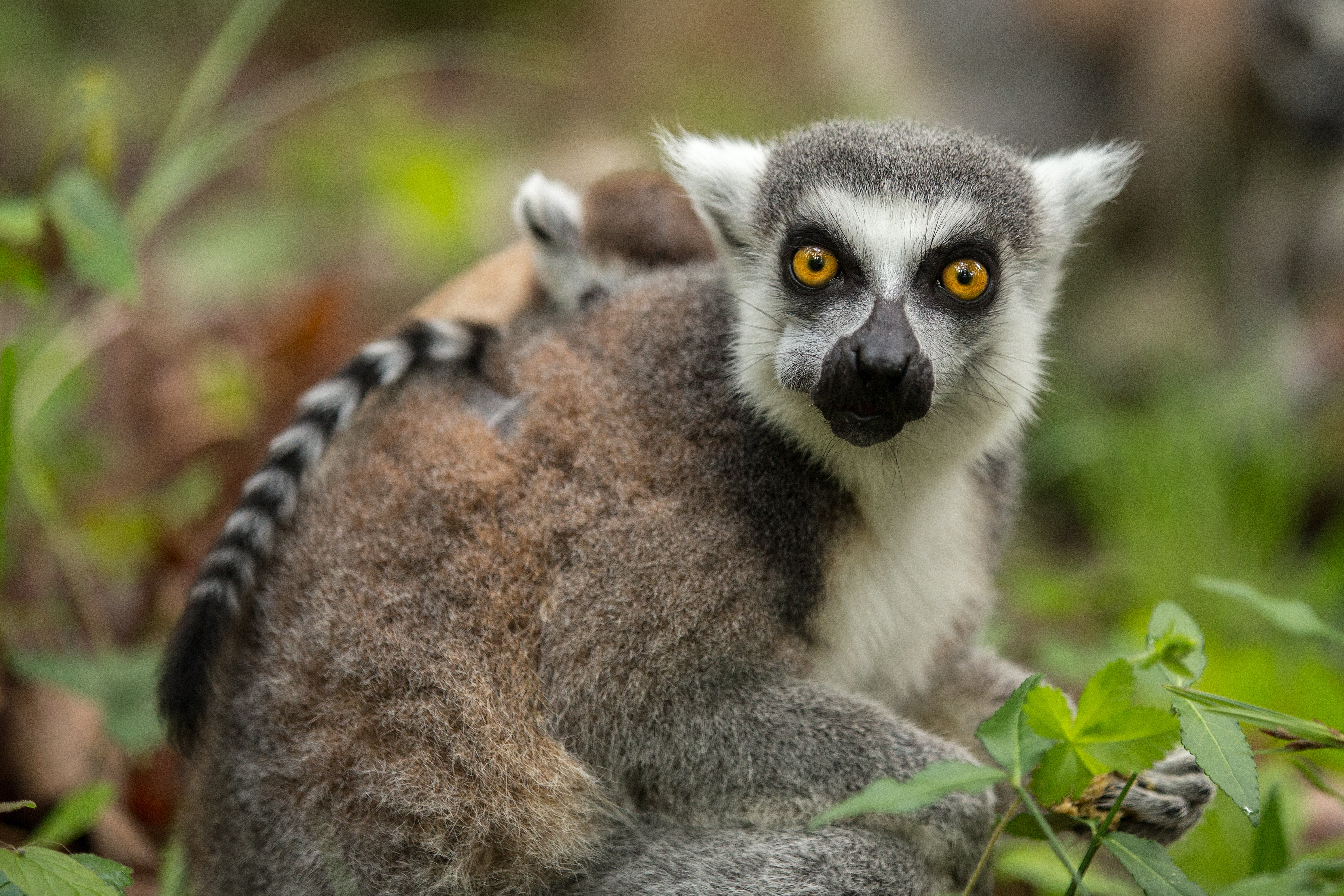82279 download wallpaper Animals, Lemur, Young, Joey, Grass, Food screensavers and pictures for free