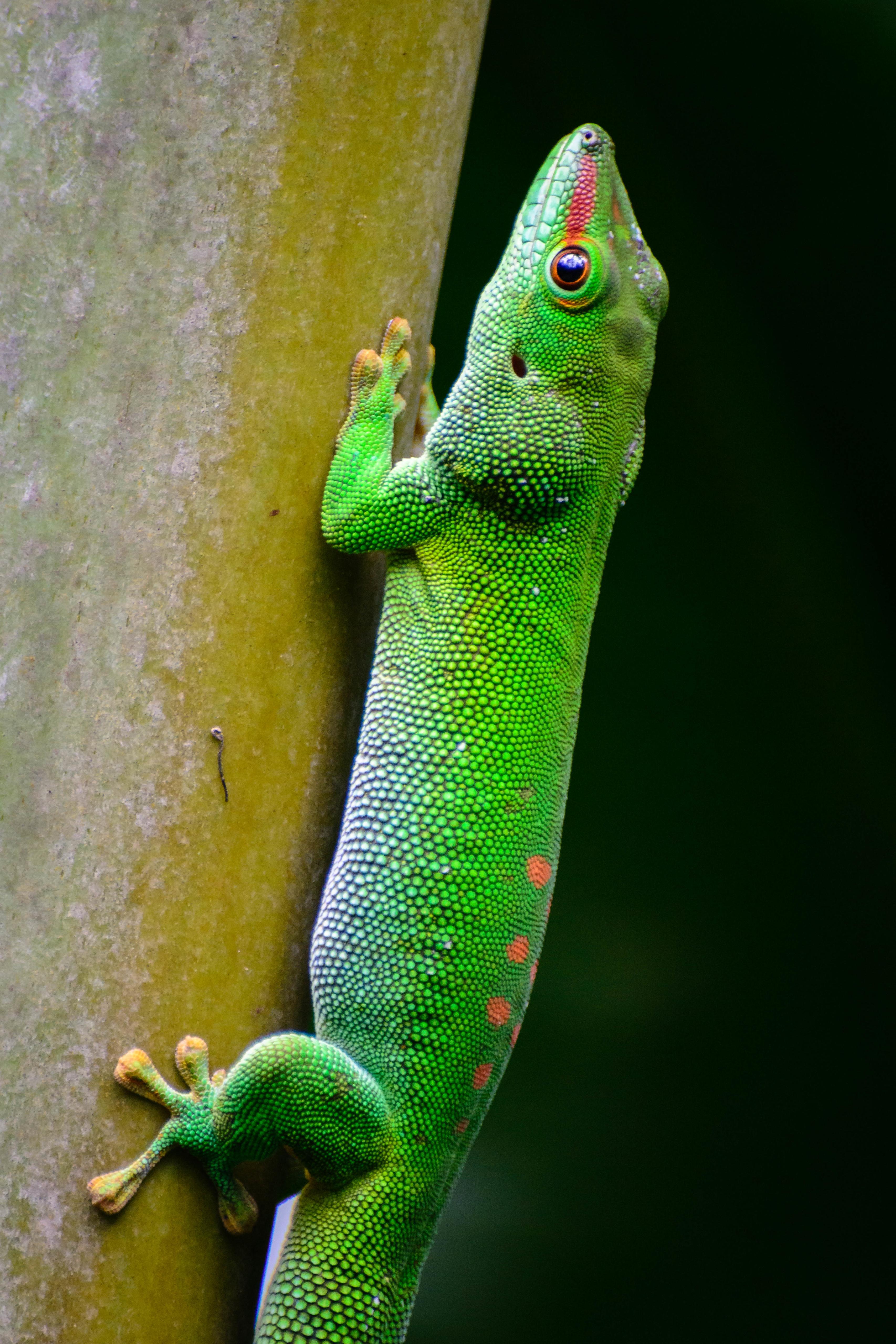 55563 Hintergrundbild herunterladen Tiere, Eidechse, Reptil, Reptile, Waage, Skala - Bildschirmschoner und Bilder kostenlos