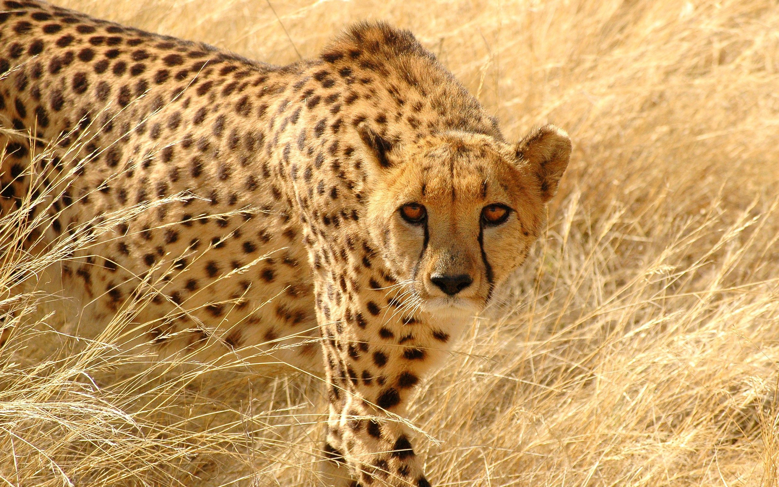 148382 download wallpaper Animals, Cheetah, Grass, Hunting, Hunt, Sight, Opinion, Attentive screensavers and pictures for free