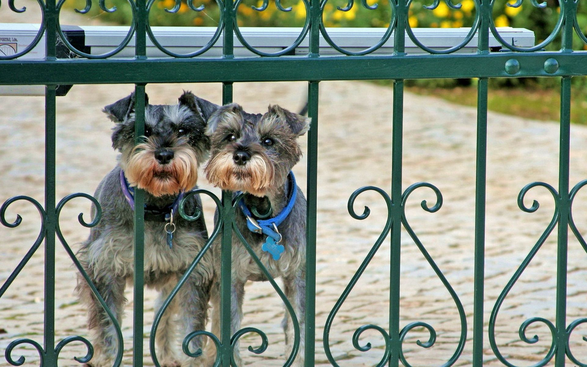 157151 download wallpaper Animals, Miniature Schnauzer, Cergschnauzer, Dogs, Fence, Fencing, Enclosure, Peek Out, Look Out, Couple, Pair screensavers and pictures for free