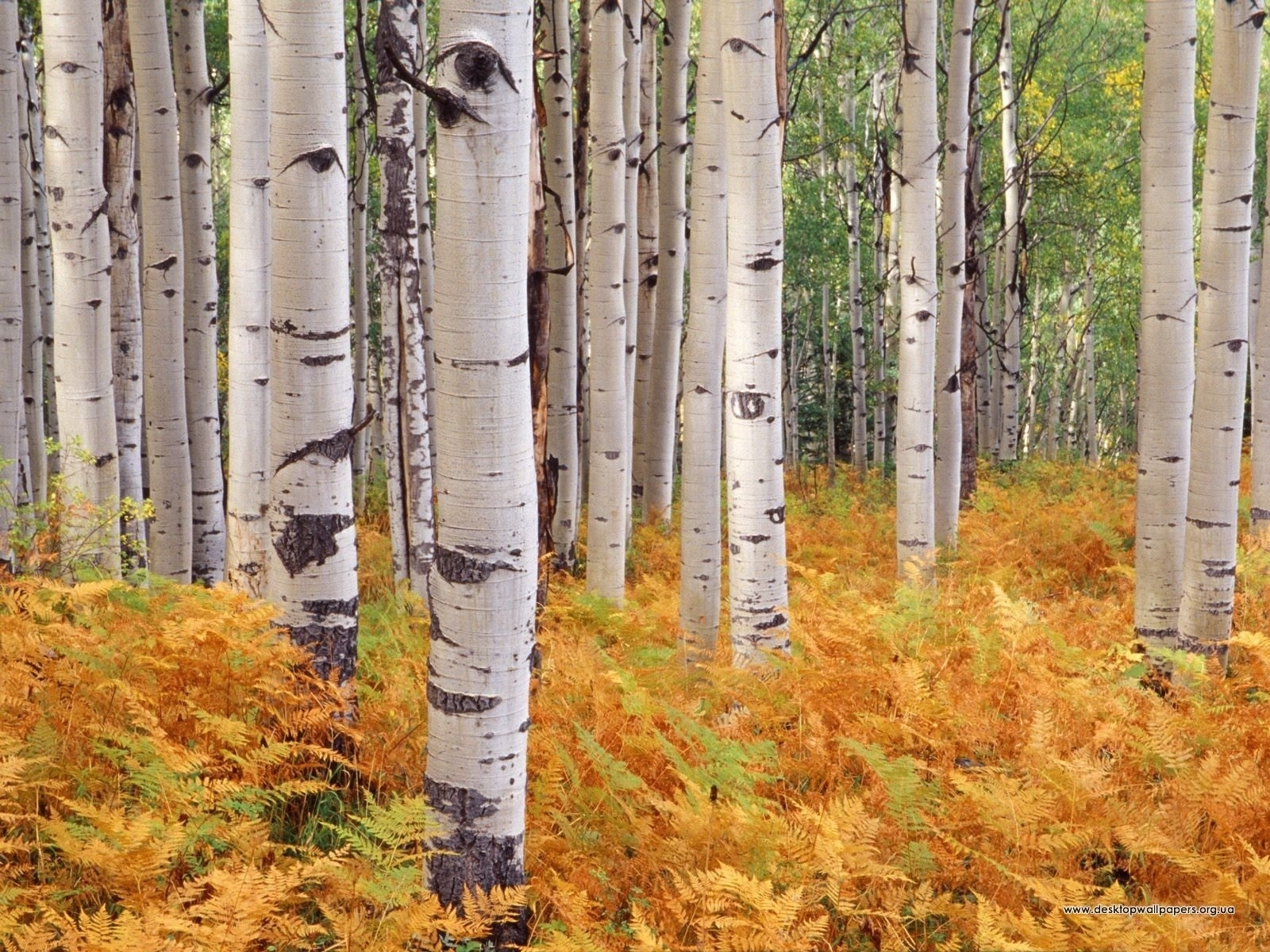 9838 download wallpaper Landscape, Trees, Autumn, Birches screensavers and pictures for free