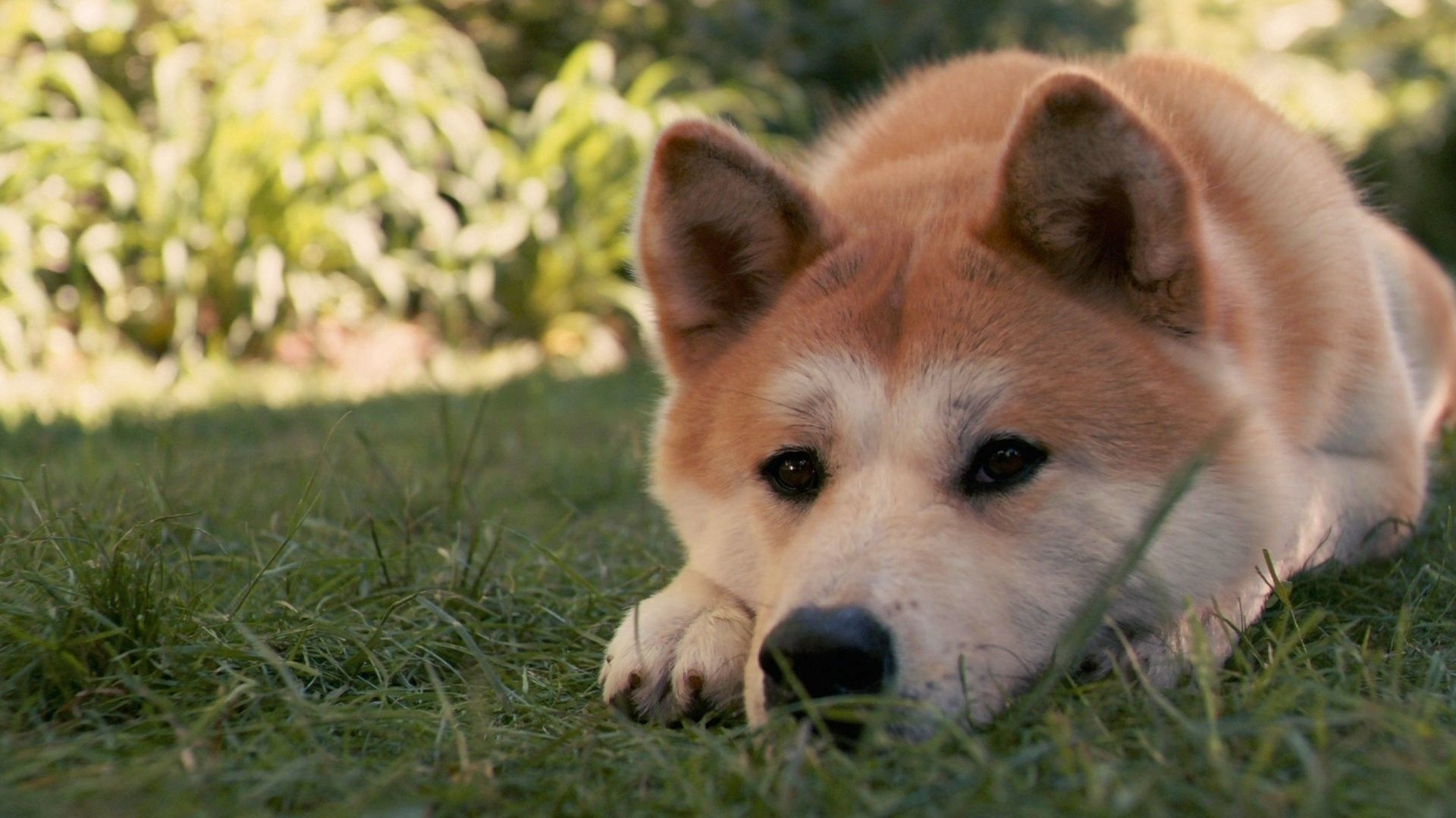 120293 download wallpaper Animals, Akita Inu, Dog, Hachiko, Sadness, Sorrow, To Lie Down, Lie, Grass screensavers and pictures for free