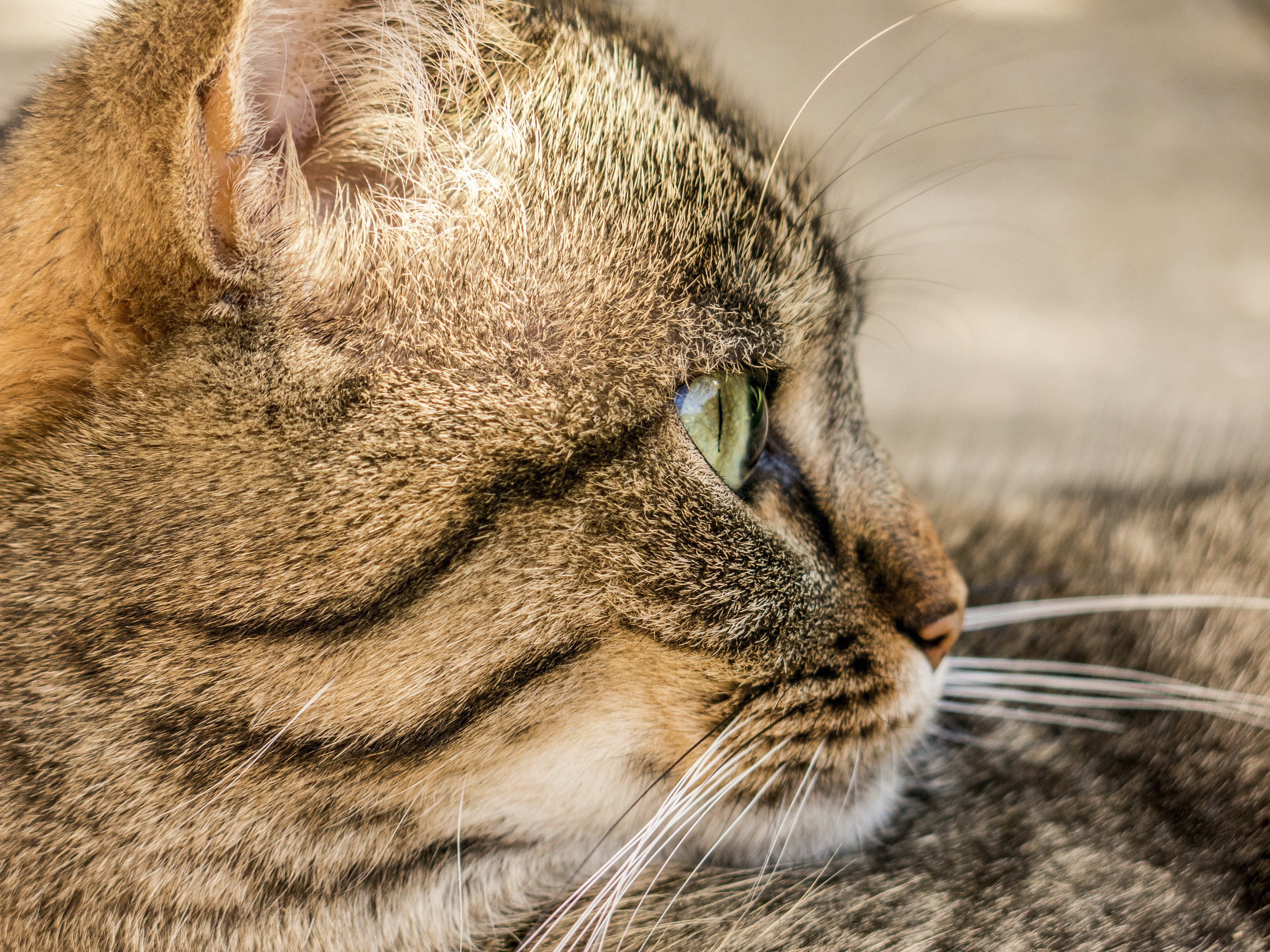 85366 Screensavers and Wallpapers Striped for phone. Download Animals, Cat, Muzzle, Striped, Profile pictures for free