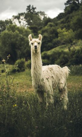 152667 Screensavers and Wallpapers Funny for phone. Download Animals, Llama, Lama, Funny, Nice, Sweetheart, Animal pictures for free