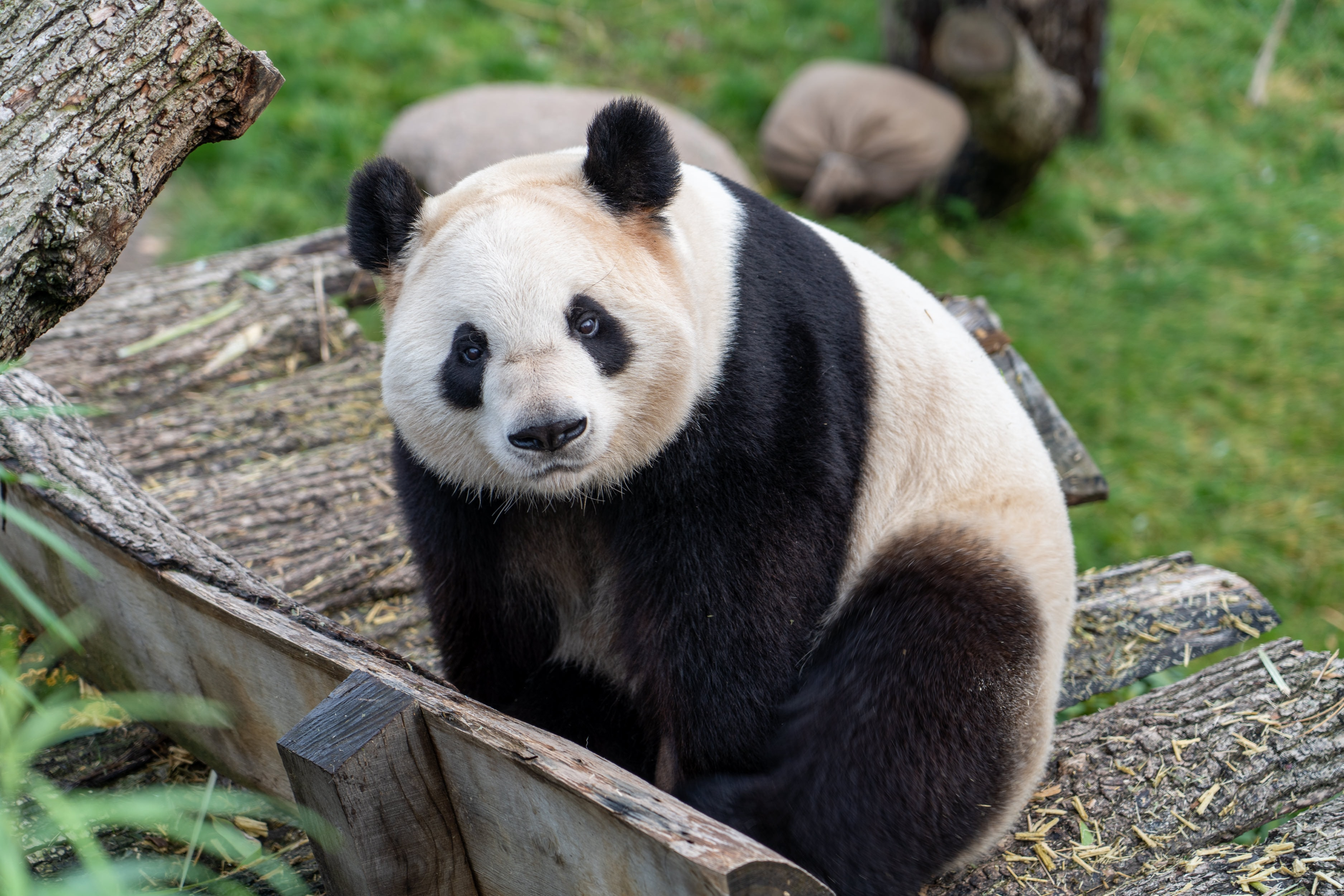 91577 download wallpaper Animals, Panda, Bear, Sight, Opinion, Animal screensavers and pictures for free