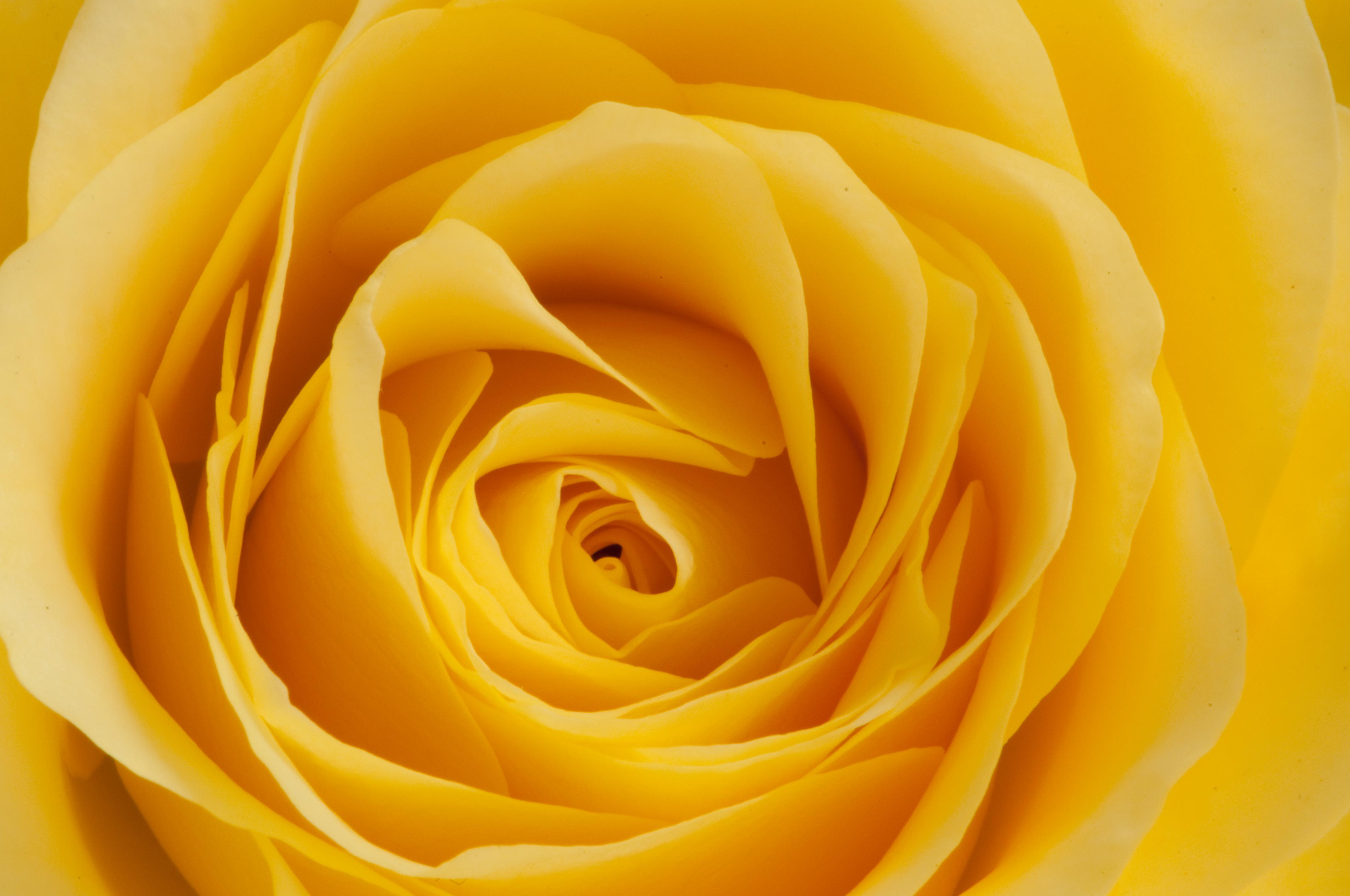Download mobile wallpaper Flowers, Macro, Rose Flower, Rose, Petals, Bud for free.