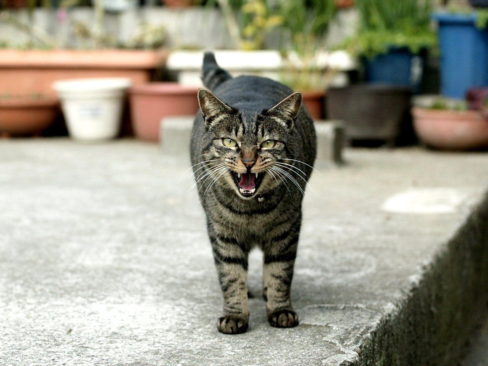 94029 Hintergrundbild herunterladen Tiere, Der Kater, Katze, Schnauze, Gestreift, Schrei, Weinen - Bildschirmschoner und Bilder kostenlos