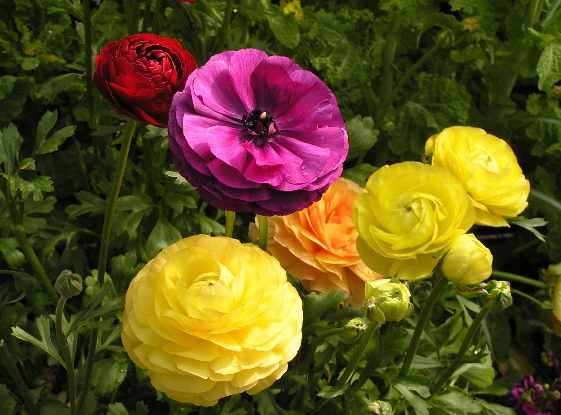 50759 descargar fondo de pantalla Flores, Verduras, Drops, Cama De Flores, Parterre, Ranúnculo, Ranunkulus: protectores de pantalla e imágenes gratis