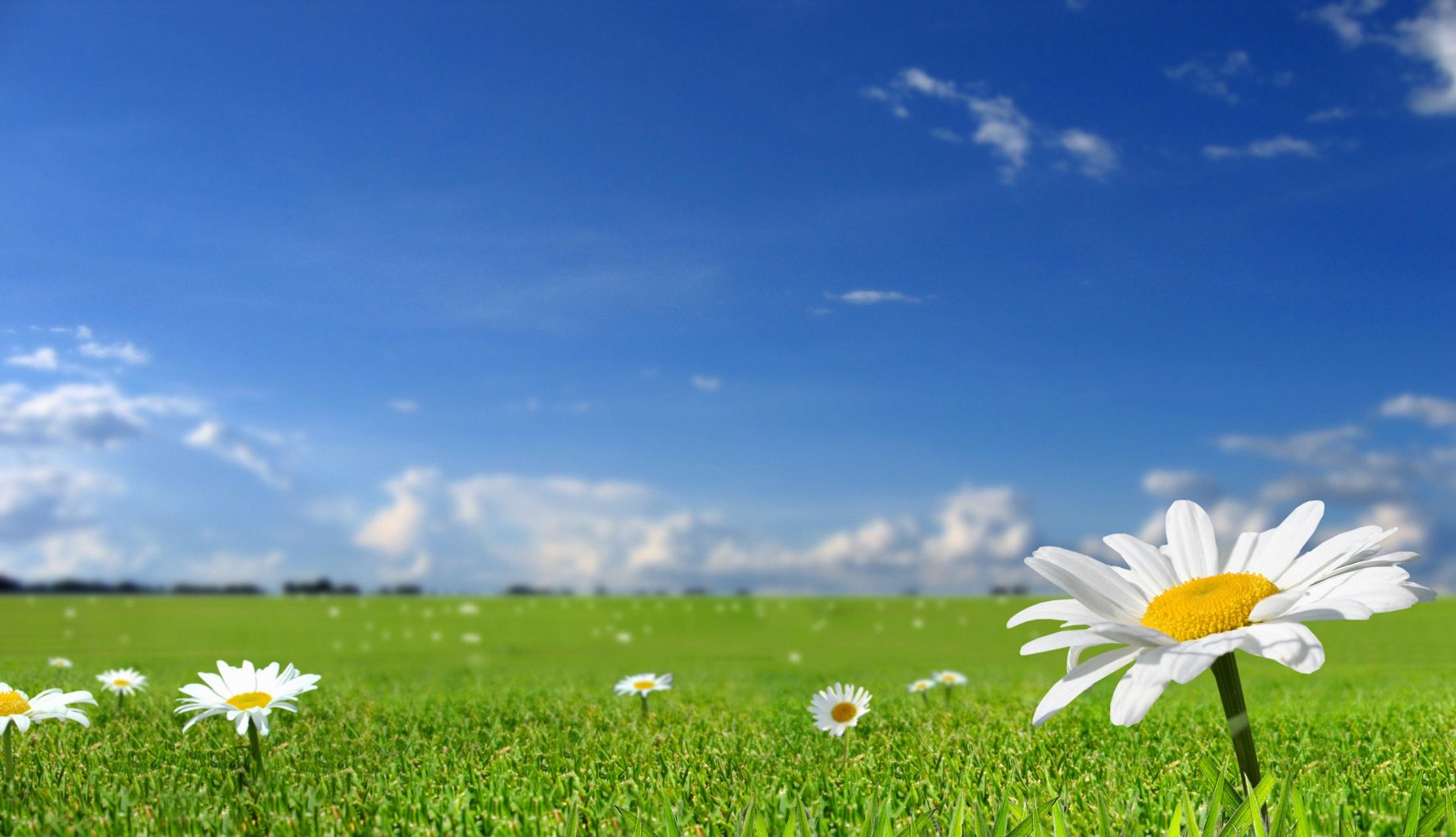 73023 Hintergrundbild herunterladen Natur, Blumen, Grass, Sky, Kamille, Feld, Sonnig, Sonnigen - Bildschirmschoner und Bilder kostenlos