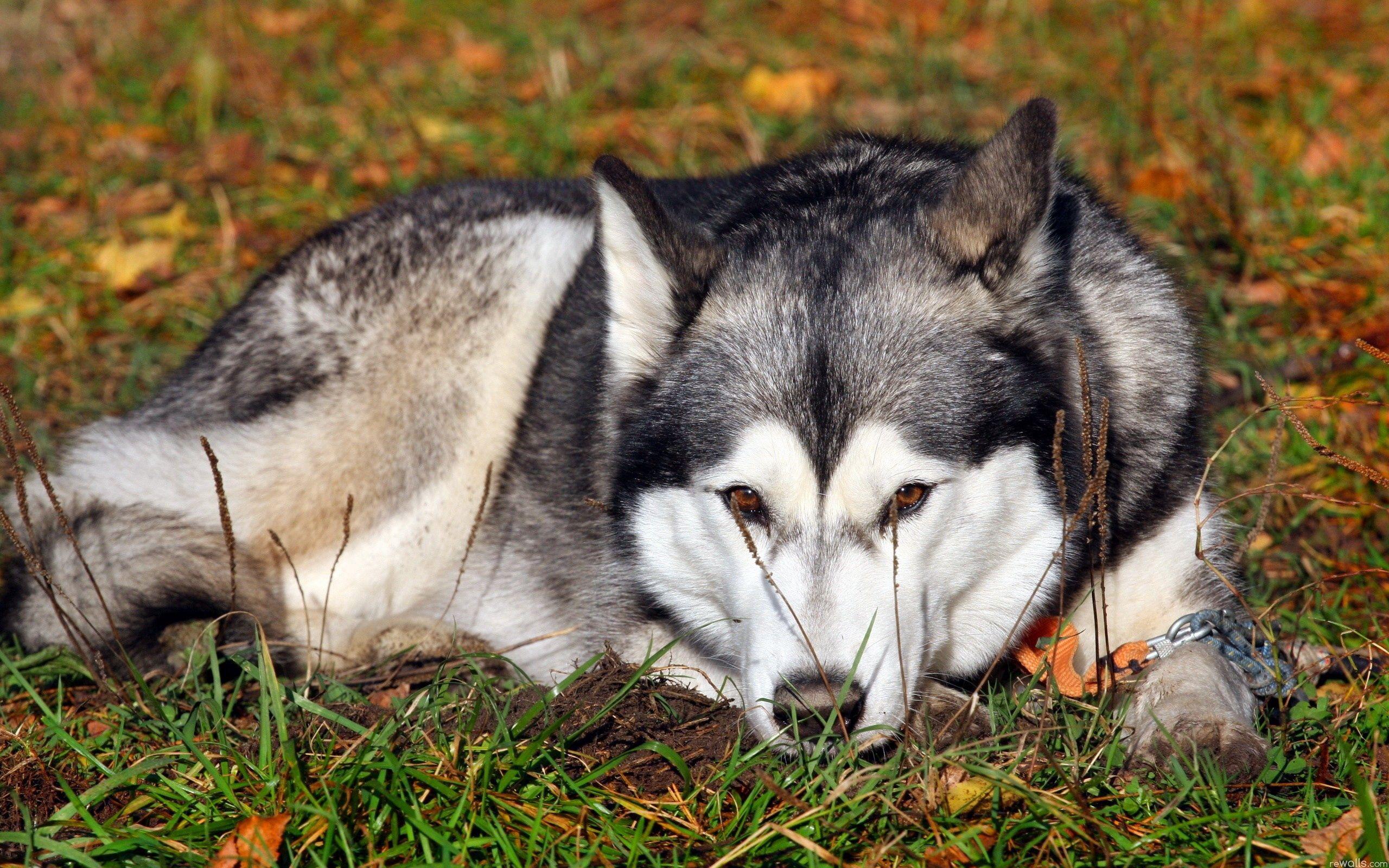Handy-Wallpaper Tiere, Grass, Sich Hinlegen, Liegen, Hund, Traurigkeit, Heiser, Haska, Trauer, Erwartung, Warten kostenlos herunterladen.