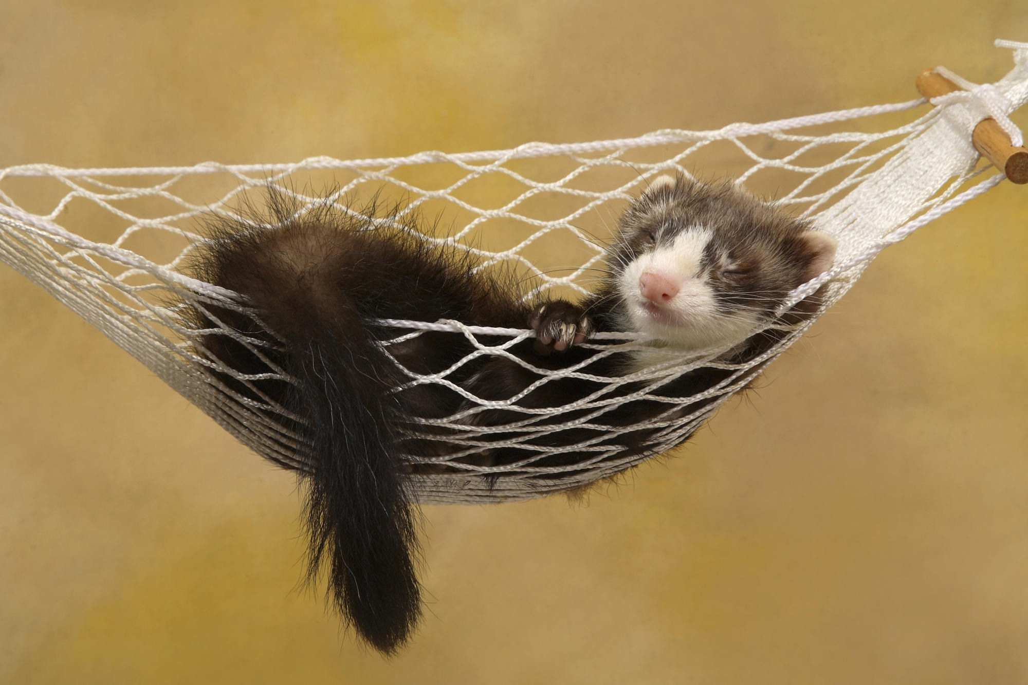 135715 download wallpaper Animals, Ferret, Polecat, Hammock, Sleep, Dream, Animal, Relaxation, Rest screensavers and pictures for free