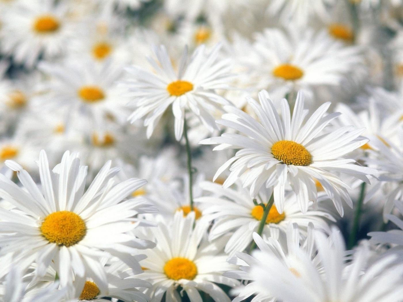25615 скачать обои Растения, Цветы, Ромашки - заставки и картинки бесплатно