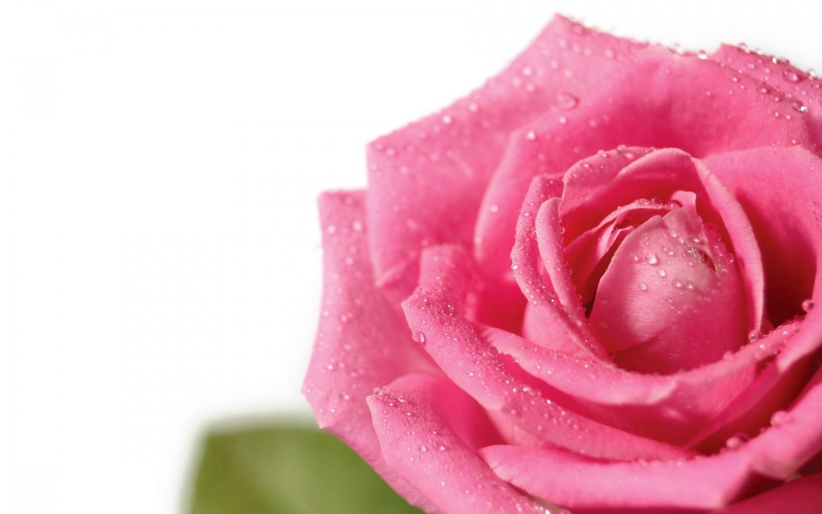 4391 скачать обои Растения, Цветы, Розы - заставки и картинки бесплатно