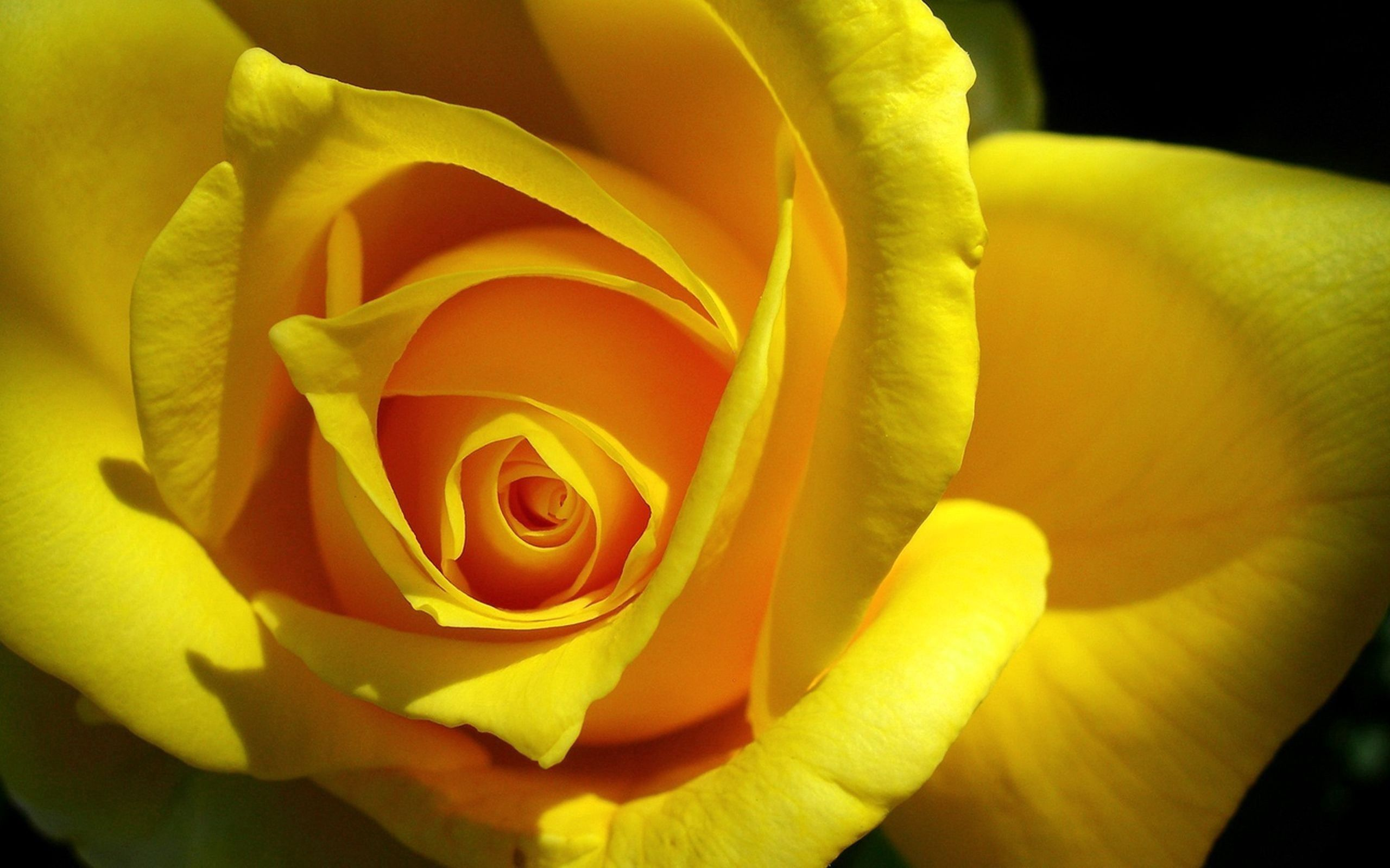 114927 Screensavers and Wallpapers Petals for phone. Download Macro, Rose Flower, Rose, Petals, Bud pictures for free