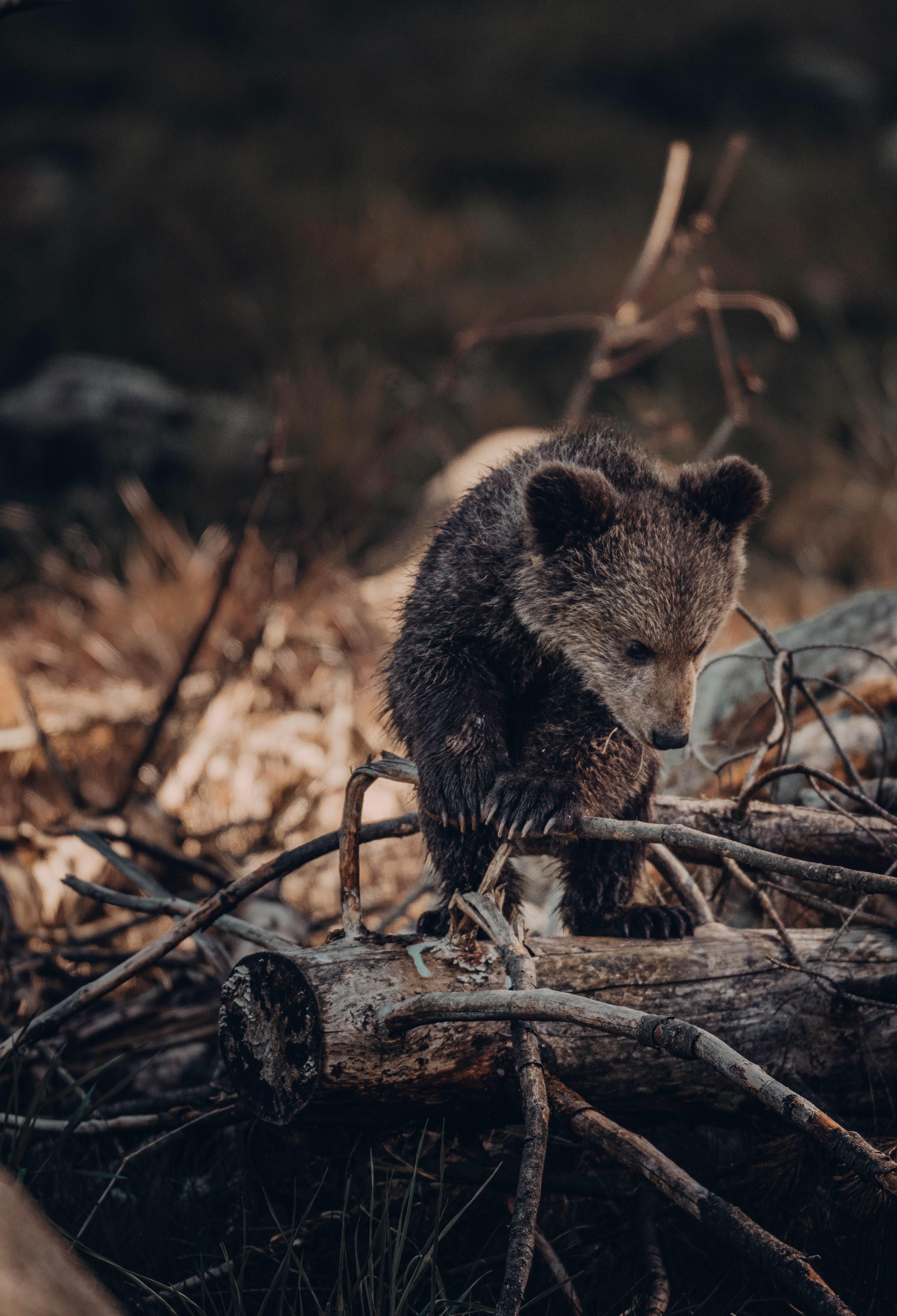 155265 скачать обои Животные, Медвежонок, Медведь, Коричневый, Зверь, Дикая Природа - заставки и картинки бесплатно
