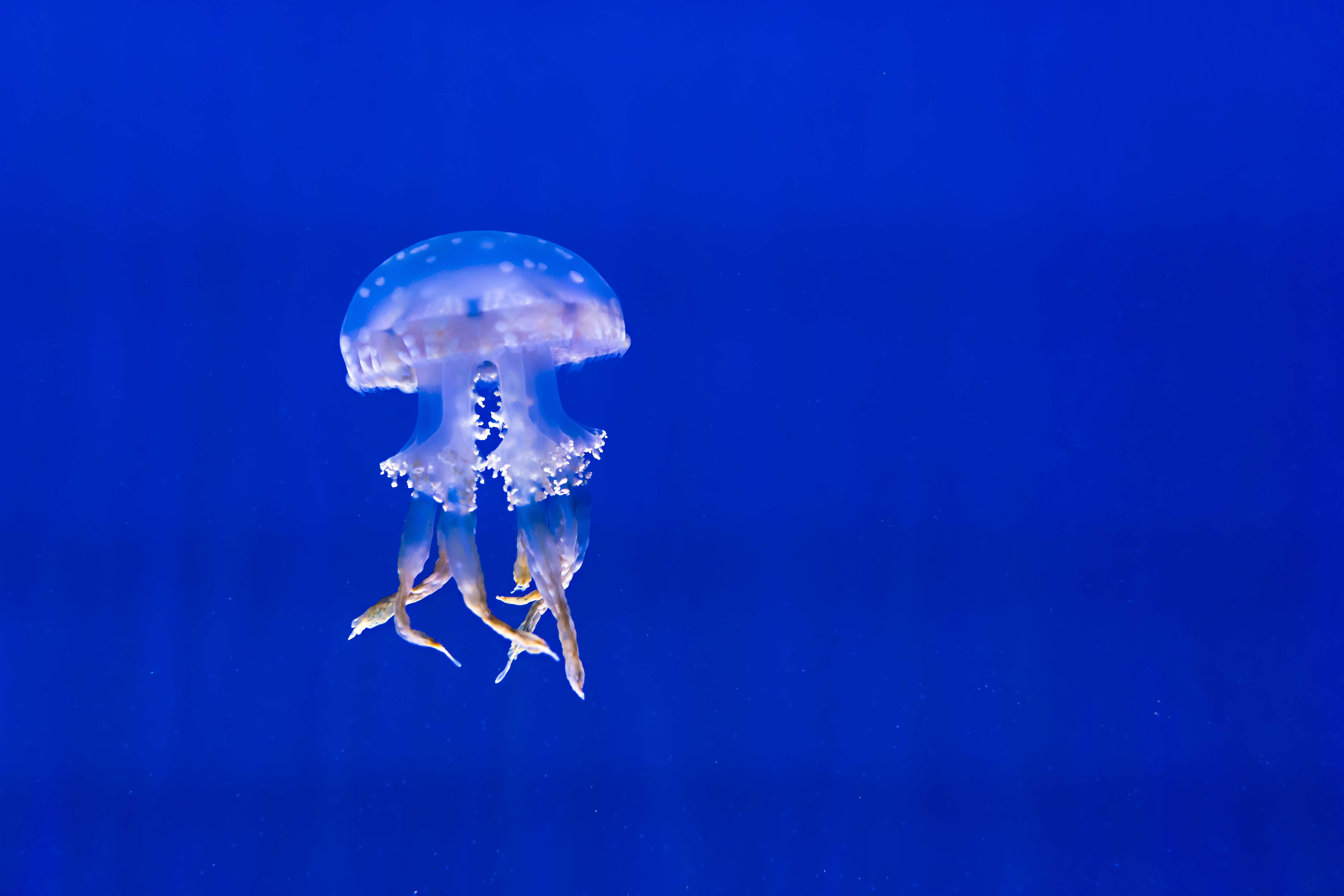 57783 download wallpaper Animals, Jellyfish, Tentacles, To Swim, Swim, Underwater World screensavers and pictures for free