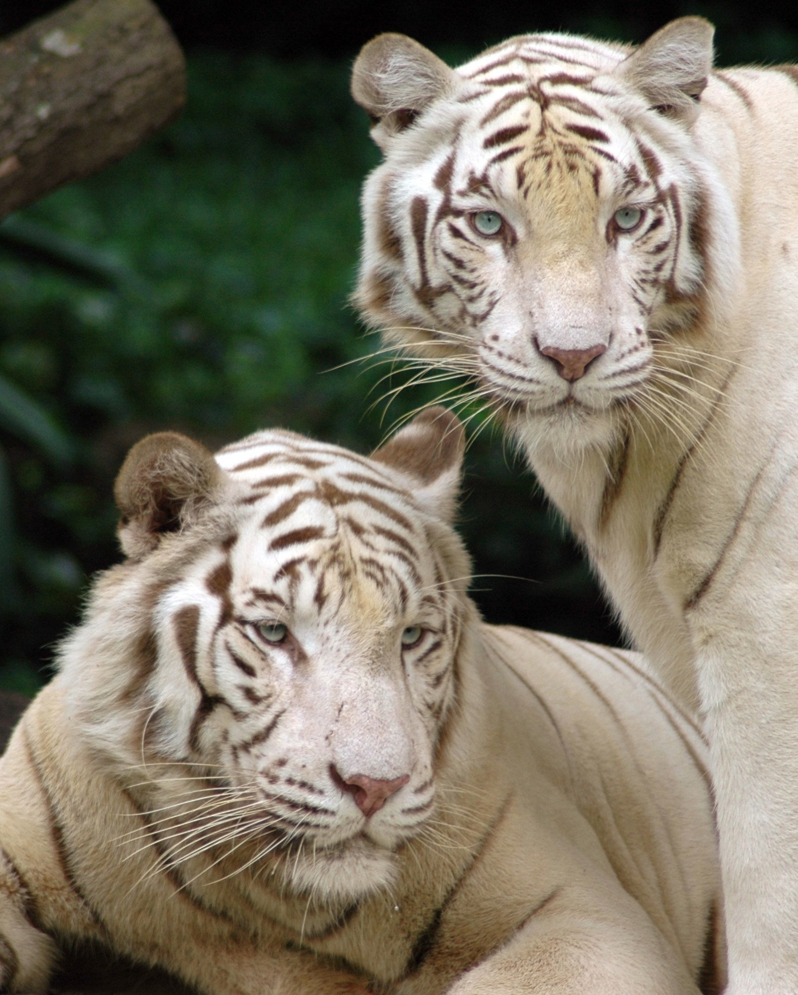 7427 download wallpaper Animals, Tigers screensavers and pictures for free