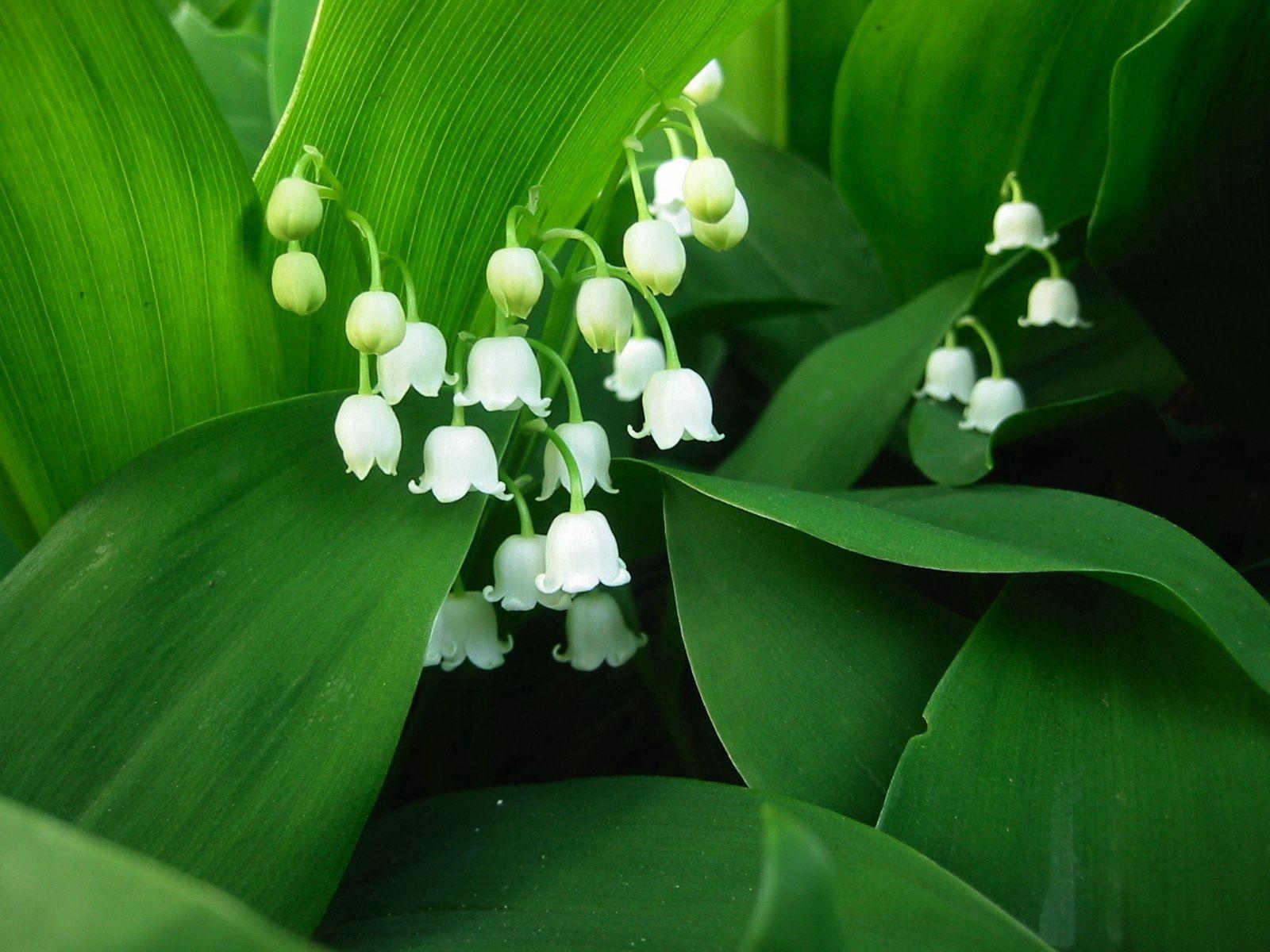 93029 Hintergrundbild herunterladen Blumen, Maiglöckchen - Bildschirmschoner und Bilder kostenlos