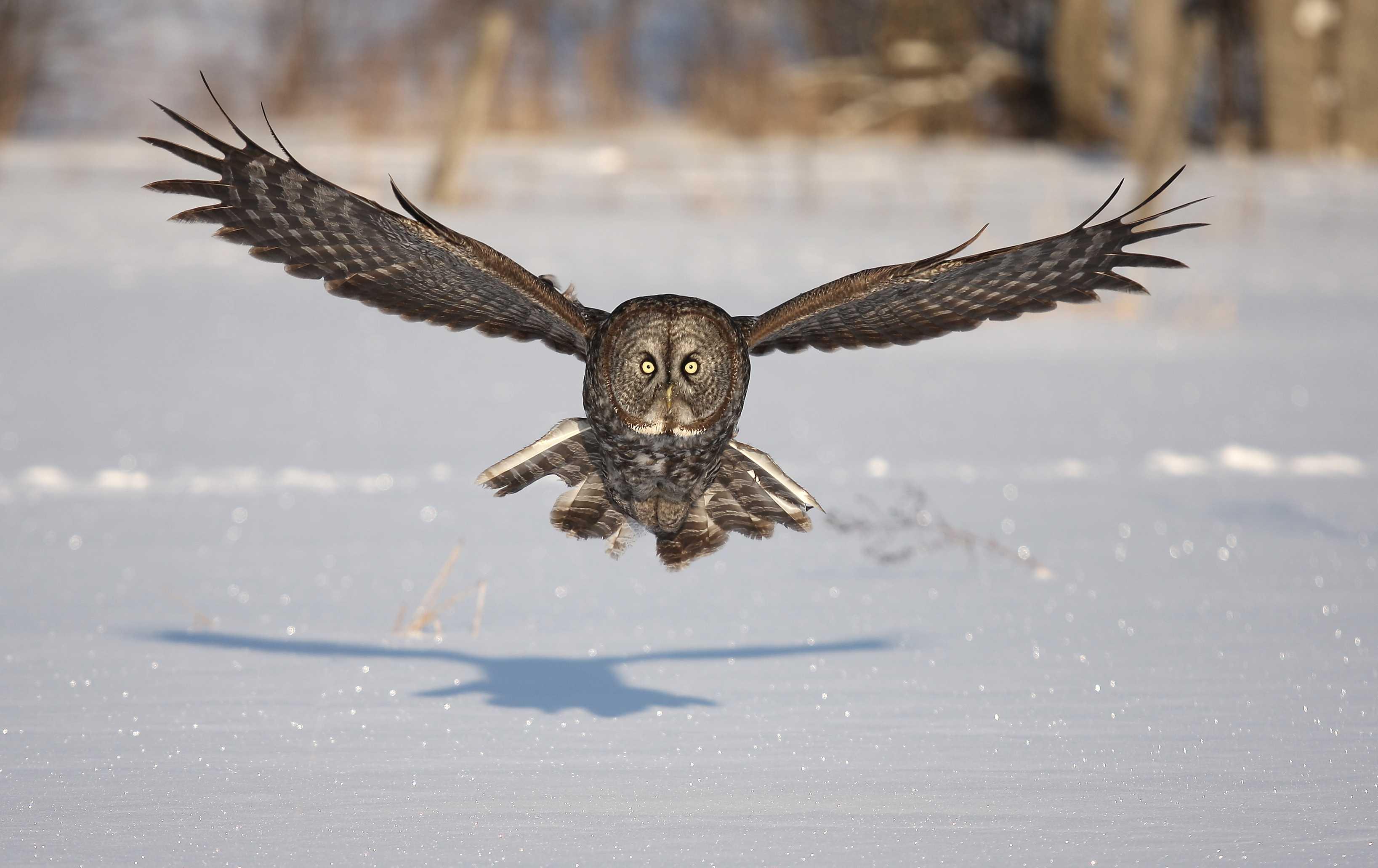 116392 скачать обои Животные, Сова, Птица, Хищник, Полет, Крылья, Взмах, Снег, Зима, Тень - заставки и картинки бесплатно