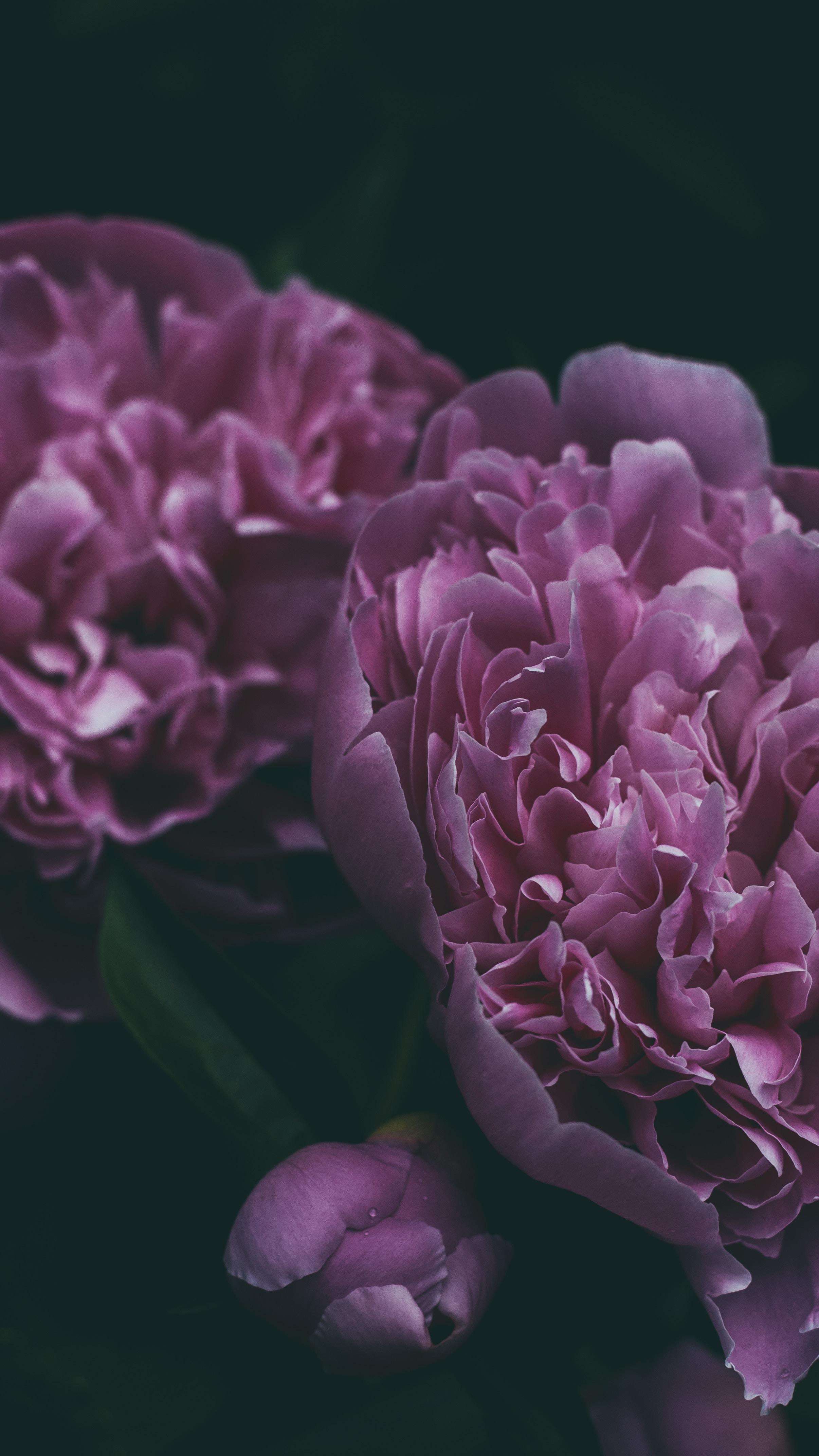 88687 скачать обои Цветы, Пион, Цветок, Лепестки, Розовый, Цветение - заставки и картинки бесплатно