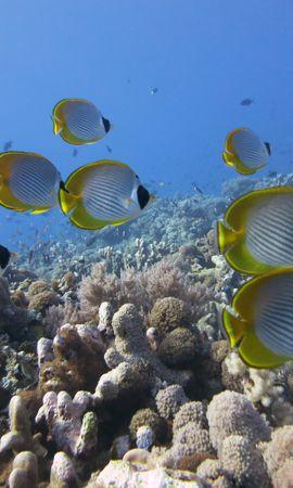 124454壁紙のダウンロード動物, 水中の世界, 水中ワールド, 魚, 剛毛パンダ, ブラシ歯のパンダ, コーラル, 珊瑚, リーフ, 礁-スクリーンセーバーと写真を無料で