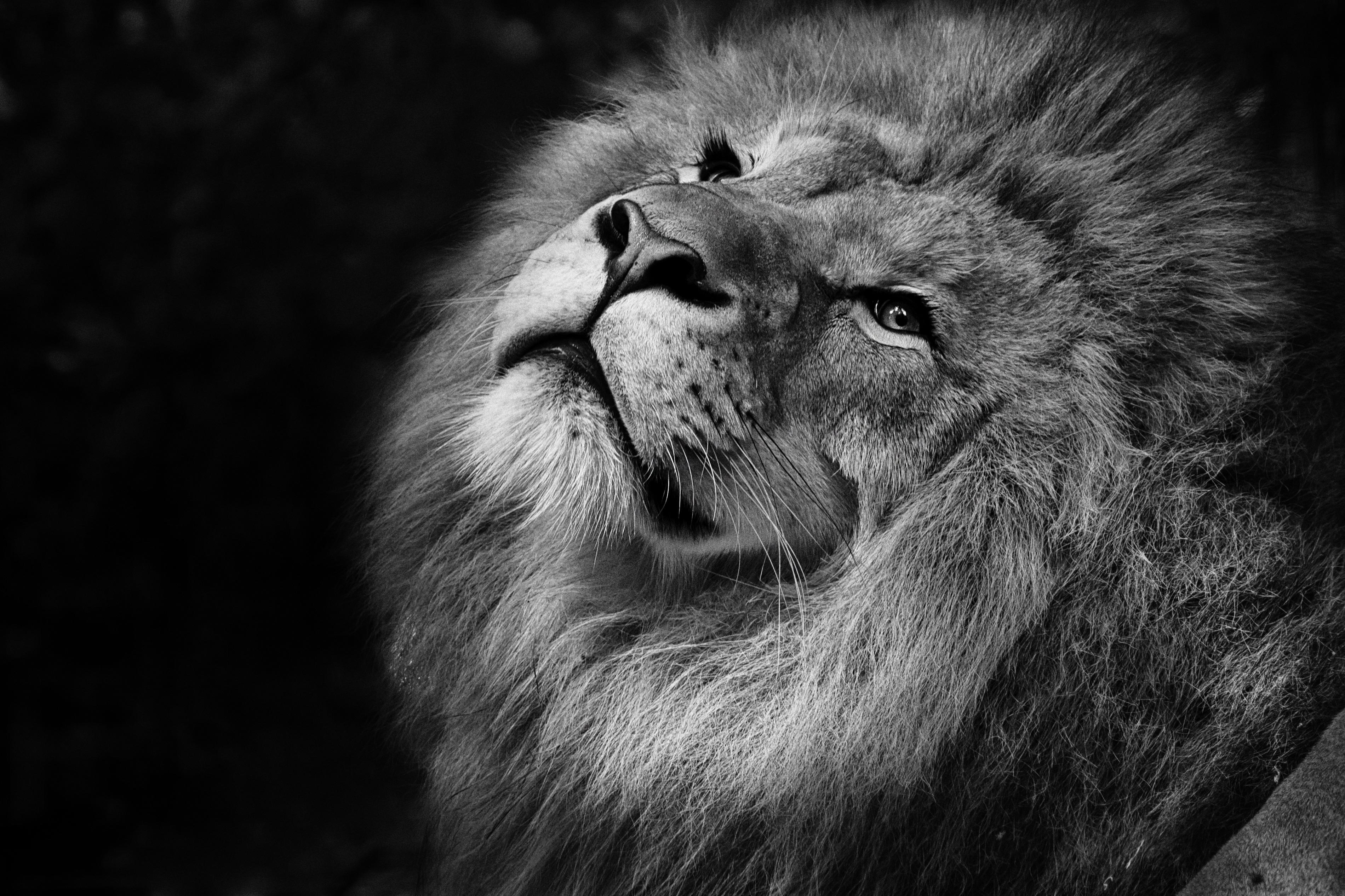 131147 Protetores de tela e papéis de parede Rei Das Feras em seu telefone. Baixe Animais, Leão, Focinho, Um Leão, Bw, Chb, Juba, Rei Das Feras, Rei Das Bestas fotos gratuitamente