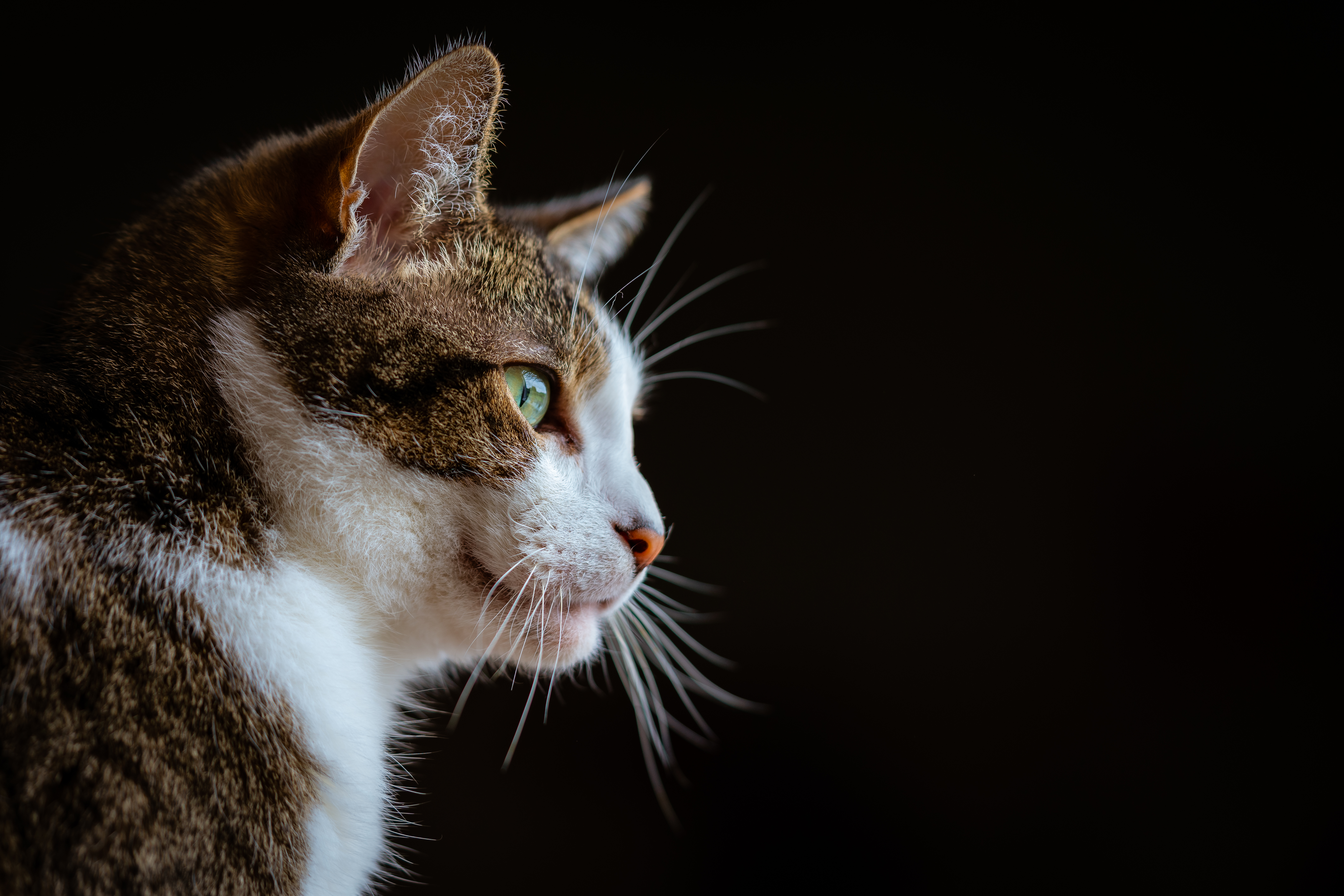 66027 download wallpaper Animals, Cat, Sight, Opinion, Muzzle, Animal, Pet screensavers and pictures for free