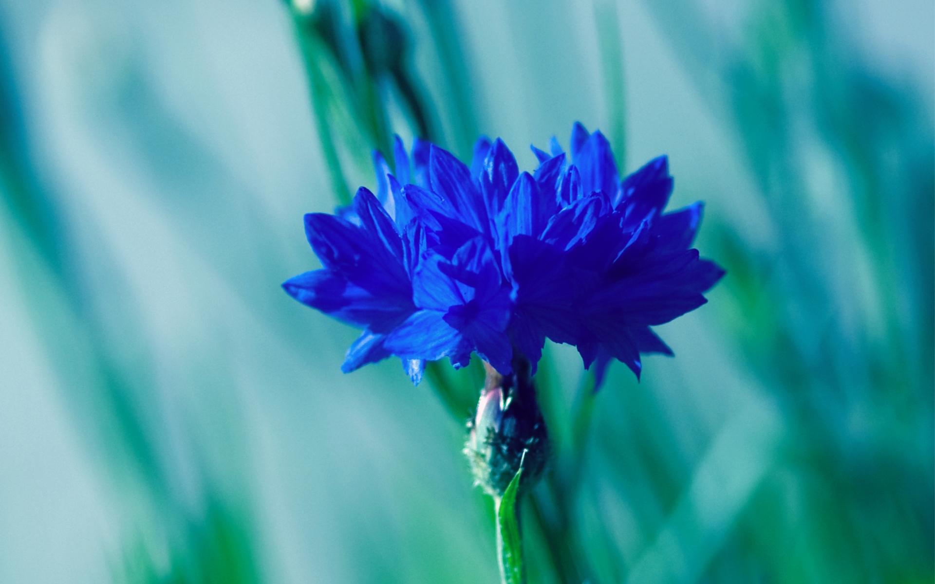35696 скачать Бирюзовые обои на телефон бесплатно, Растения, Цветы Бирюзовые картинки и заставки на мобильный