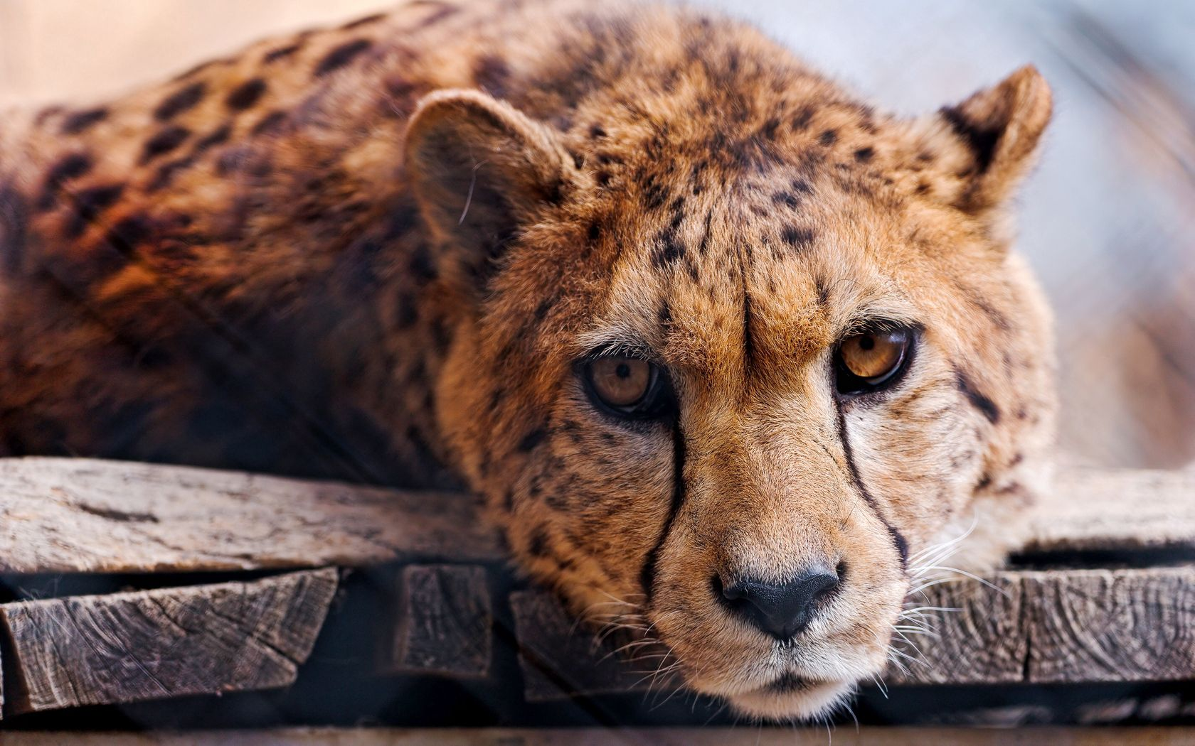69890 download wallpaper Animals, Cheetah, Muzzle, Predator, Big Cat screensavers and pictures for free