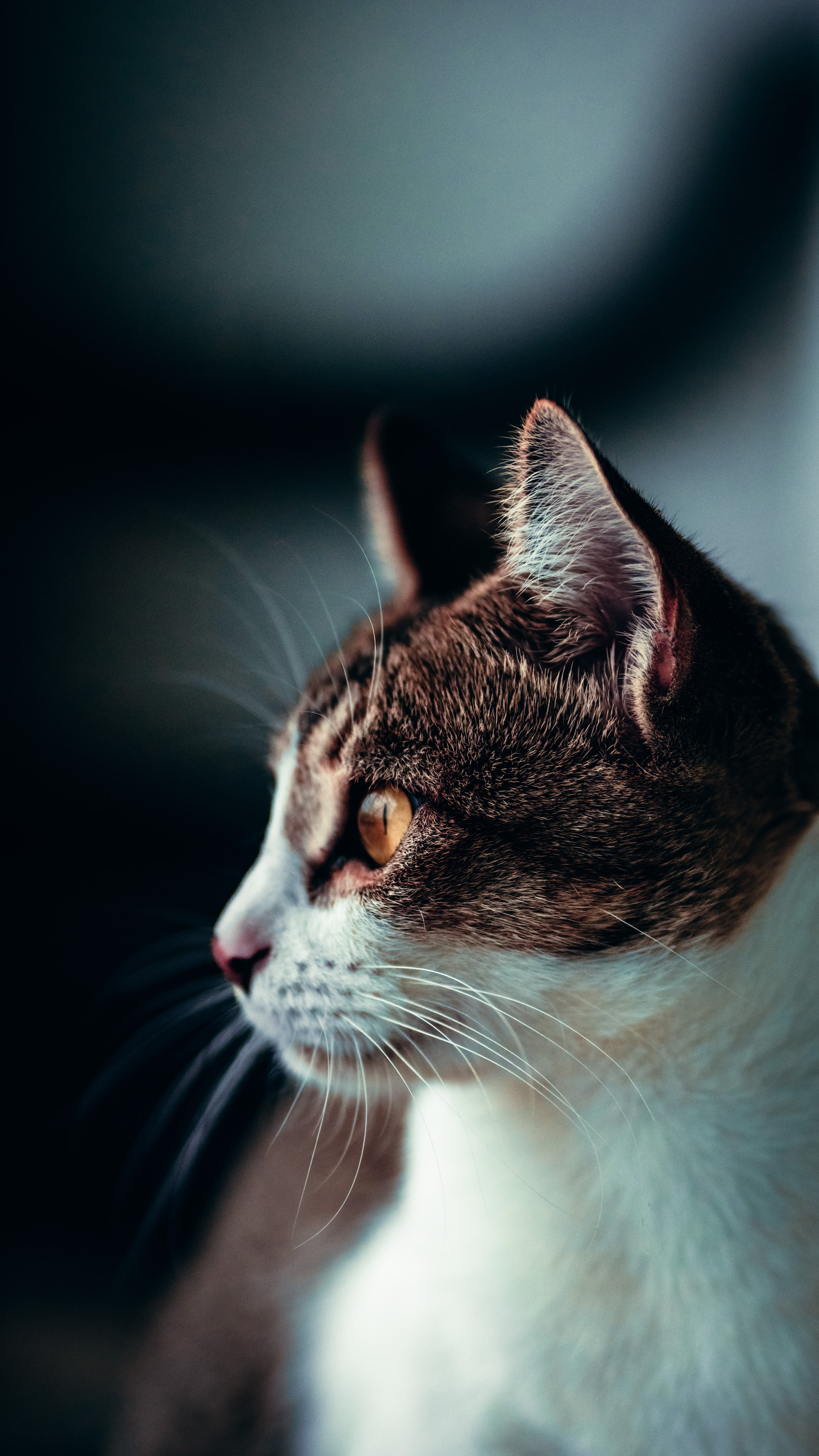 154925 download wallpaper Animals, Cat, Profile, Pet, Sight, Opinion screensavers and pictures for free