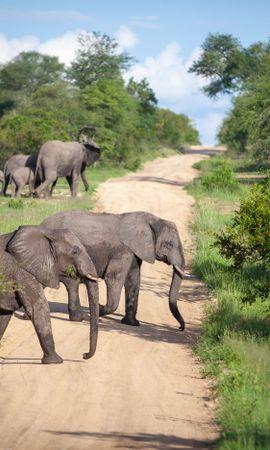 117682 скачать обои Животные, Саванна, Дорога, Слоны - заставки и картинки бесплатно
